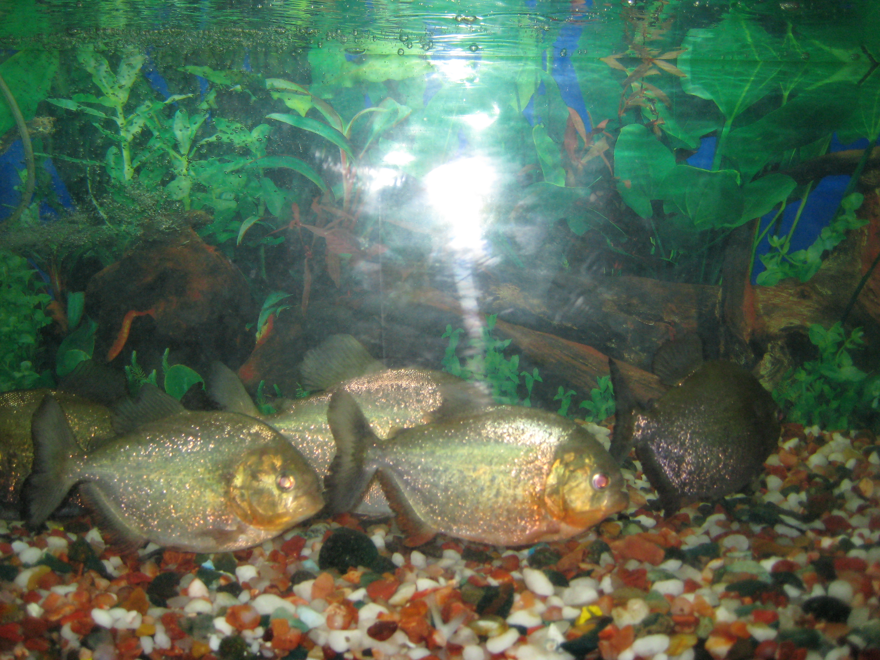 Facts About Red Bellied Piranhas Red Belly Piranhas or Pacu