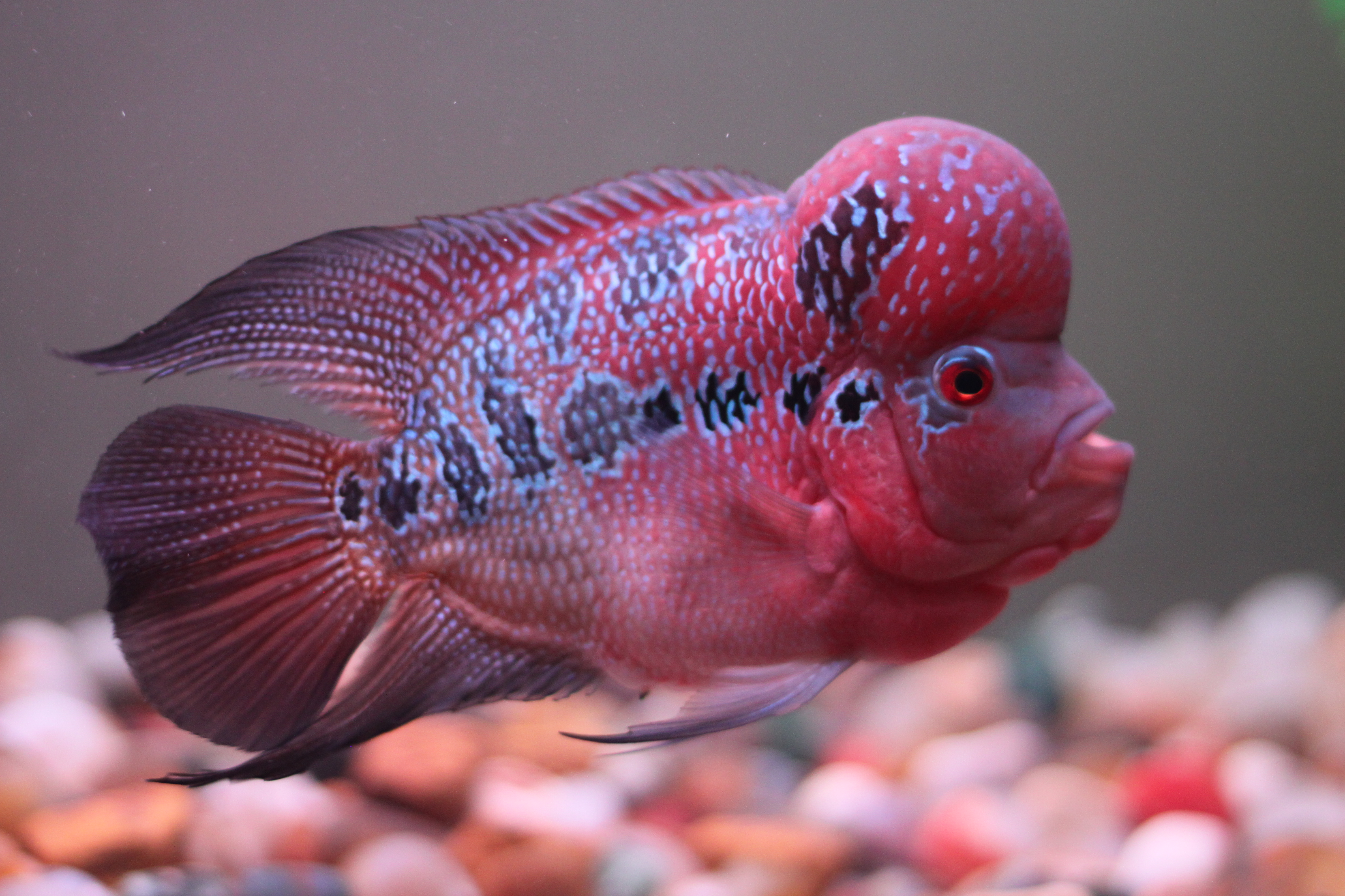 cichlids.com: Flowerhorn Updated Pic 3