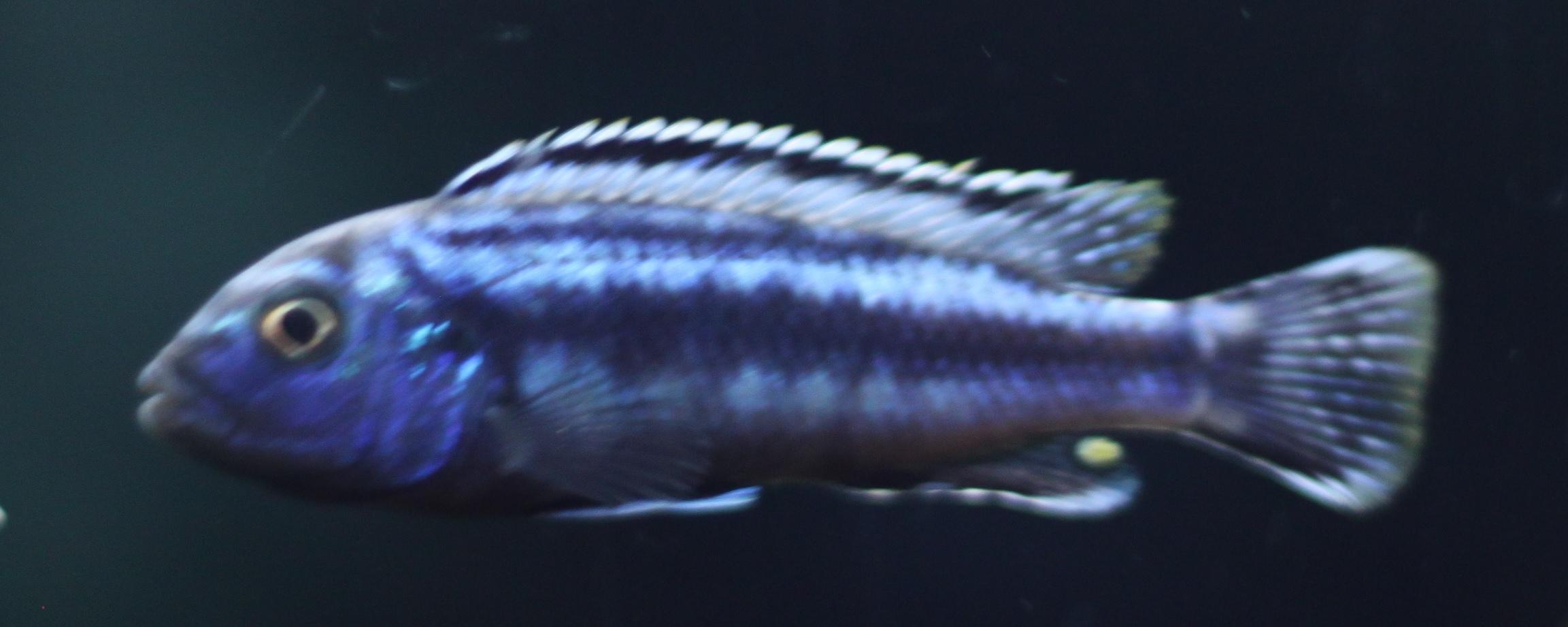 cichlids.com: EB Johanni
