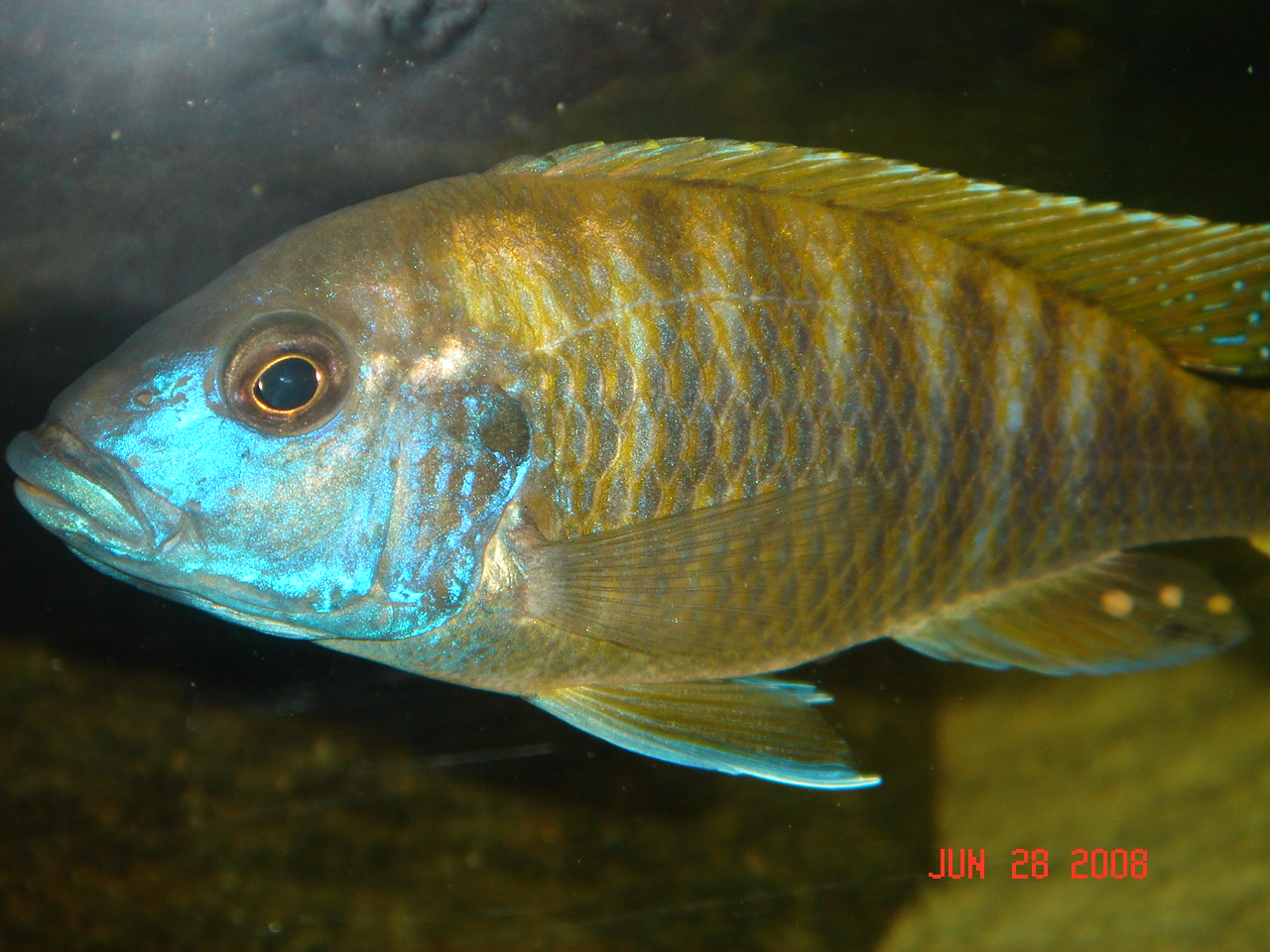 lemon jake peacock cichlid - photo #31