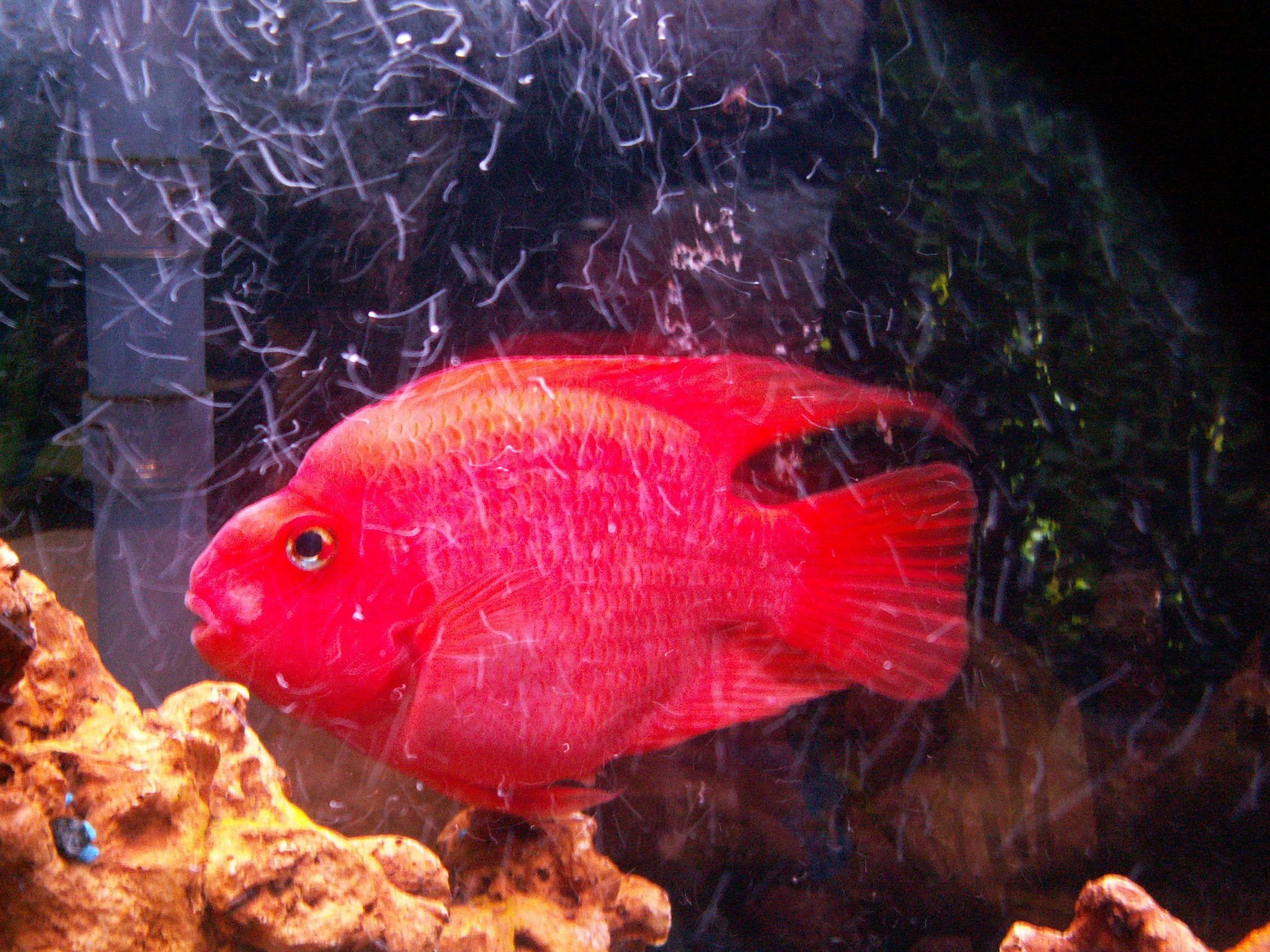 Female blood red parrot for Blood parrot fish