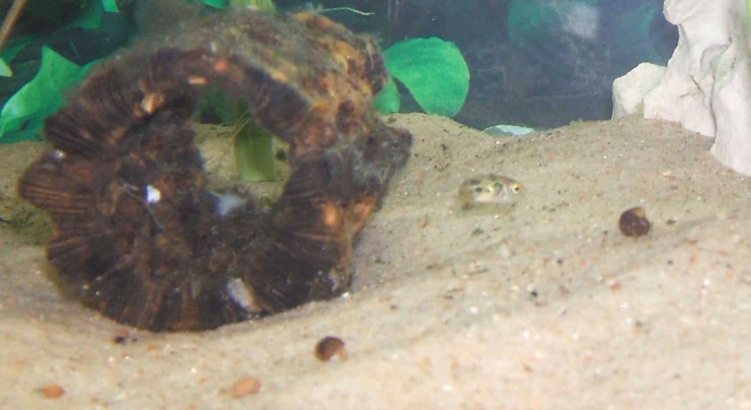 Dwarf Puffer stalking snail.