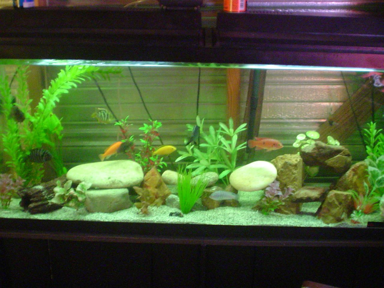 Midas still covered in ick for Ick in fish tank