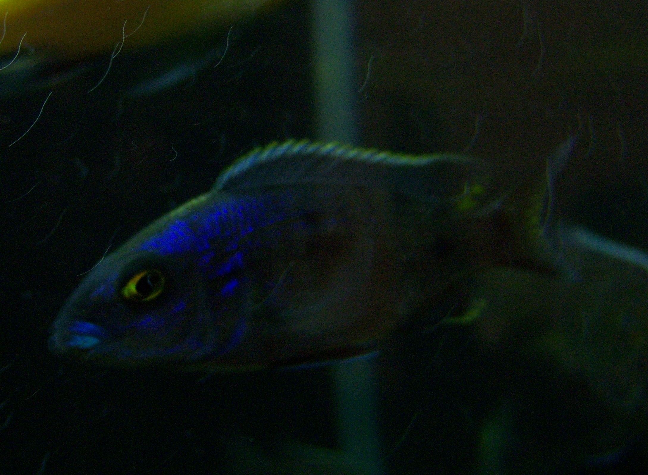 some kind of peacock walmart fish