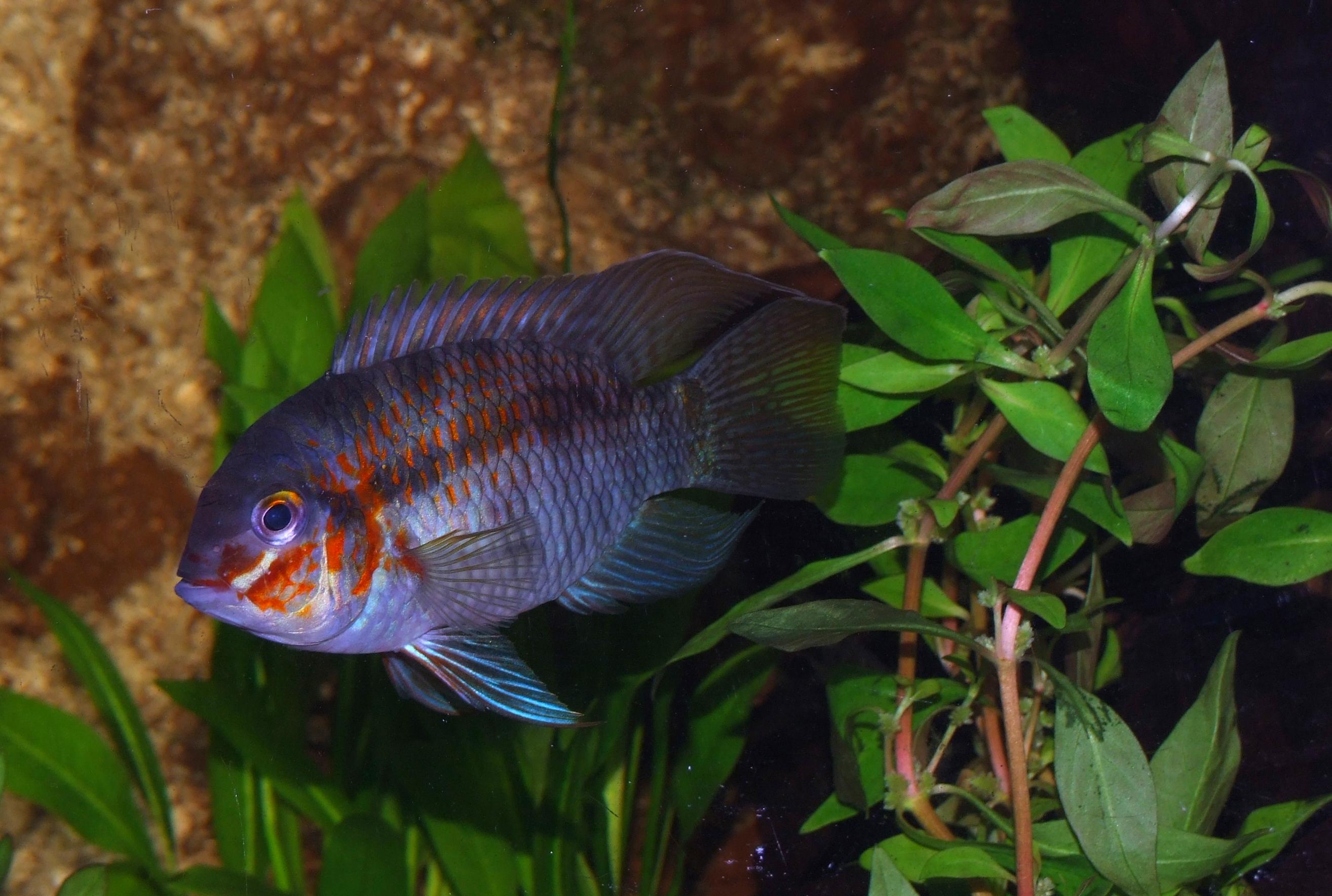 Cichlids Com Krobia Sp Xingu Male