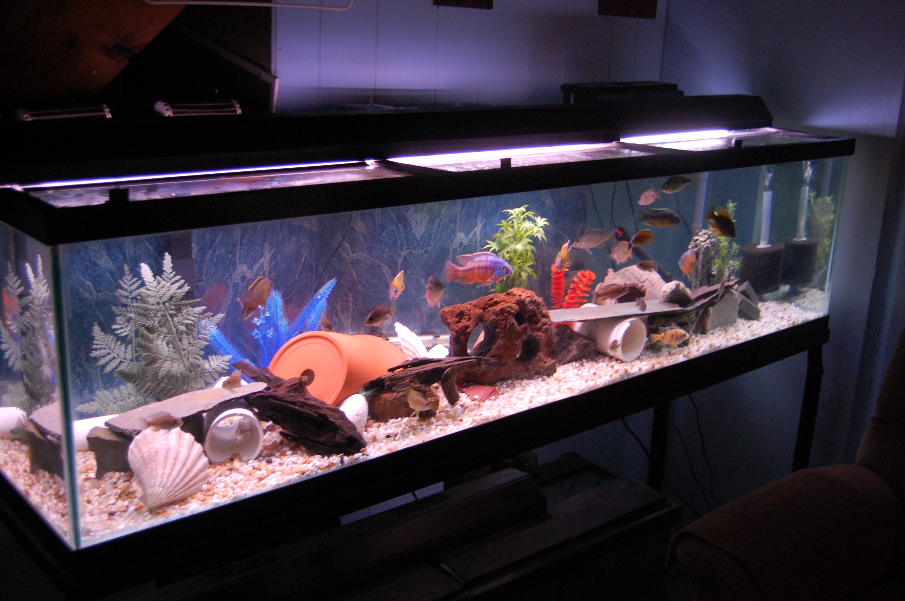 120_cichlids.com: 120 gallon basement fish room tank
