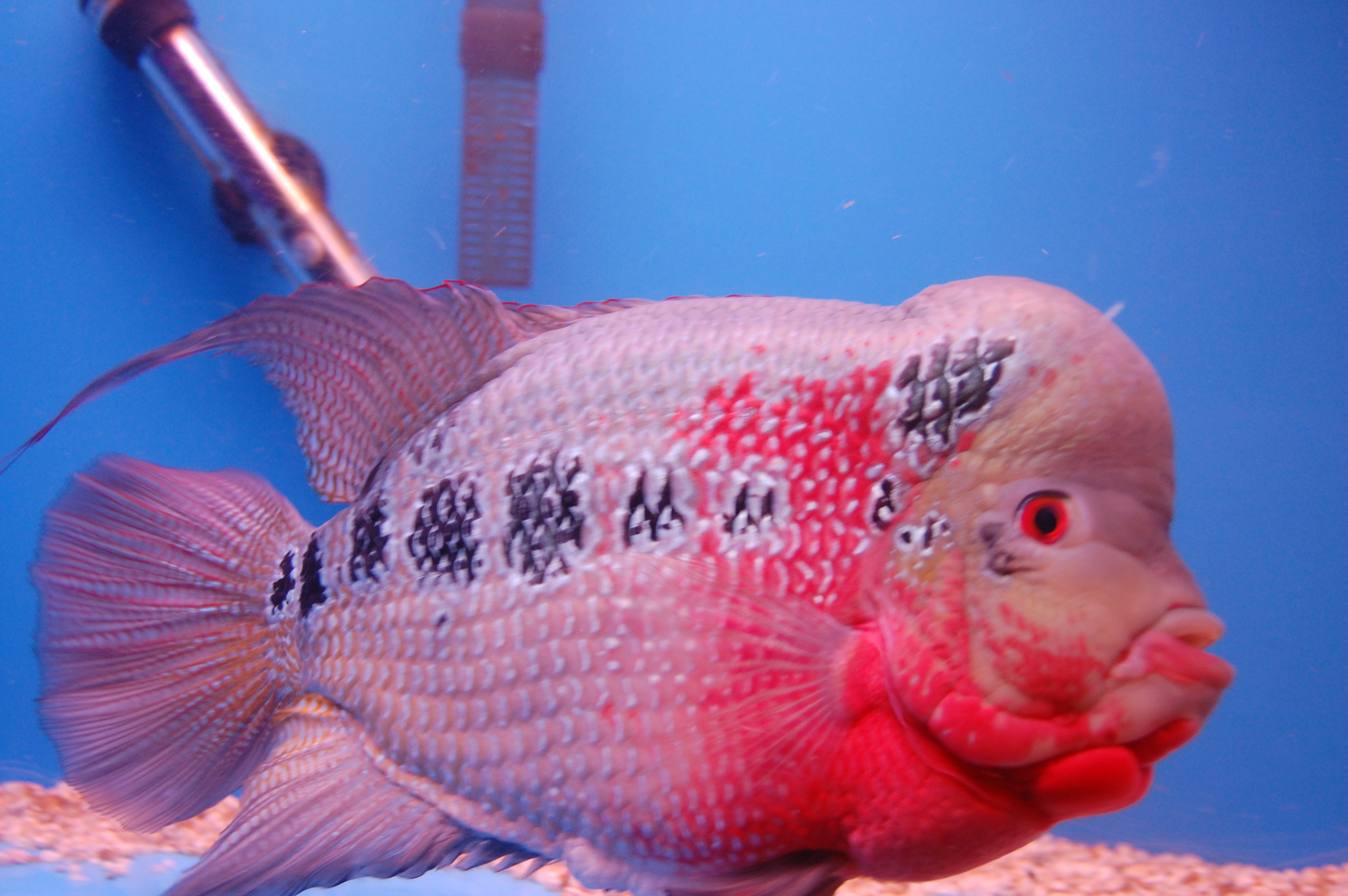 cichlids My Favorite Fish Lucky Lynus Male Flowerhorn