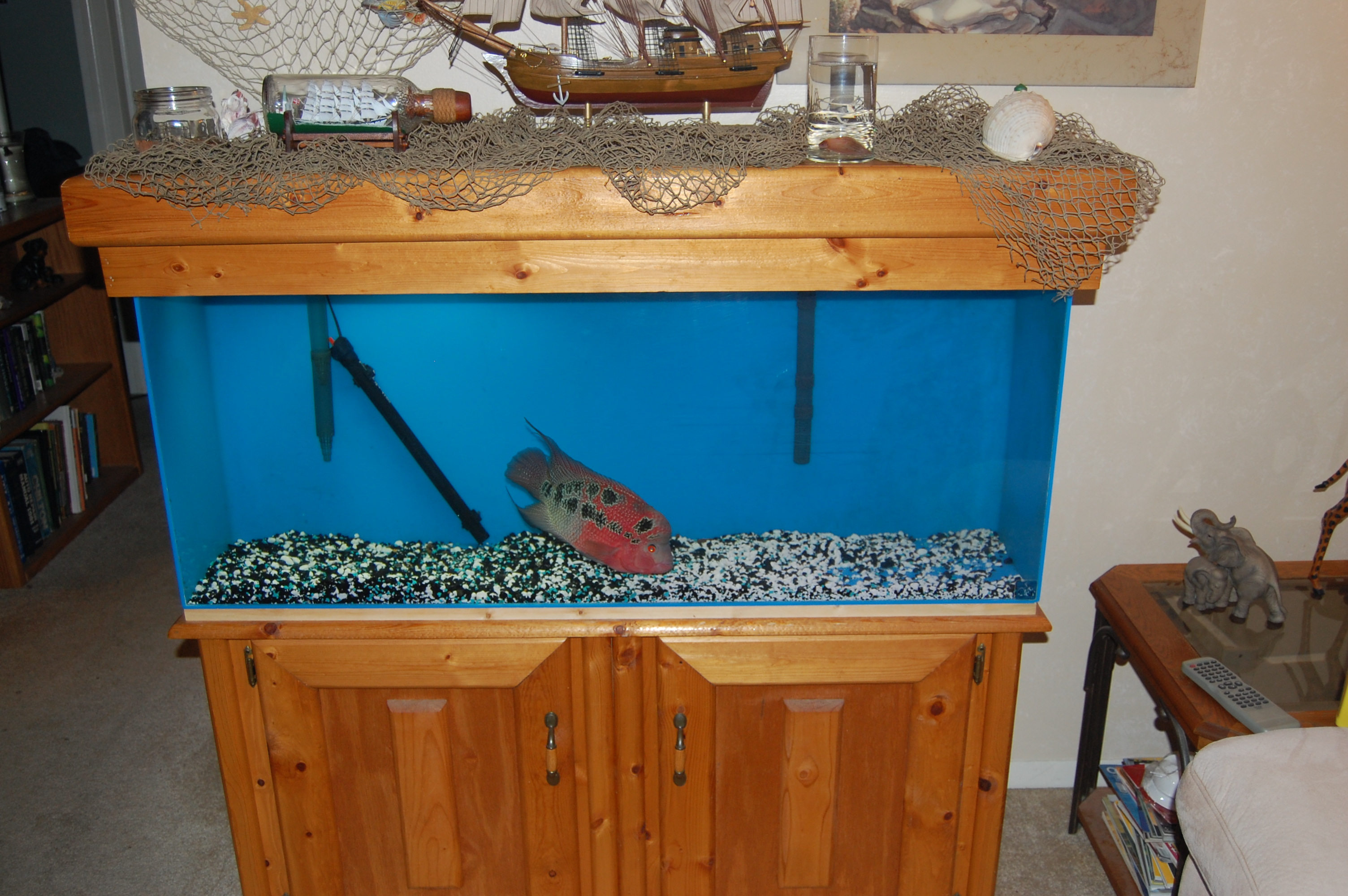 cichlids.com: Flowerhorn Tank