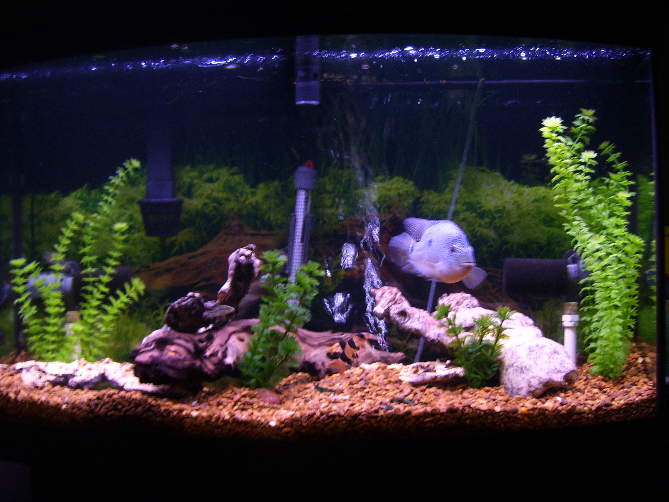 Cichlids Com Tank Examples 46 Gallon Bow Front With