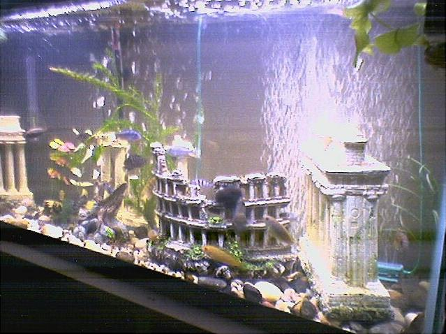 Tank examples my 55gal cichlid tank for African cichlid tank decoration