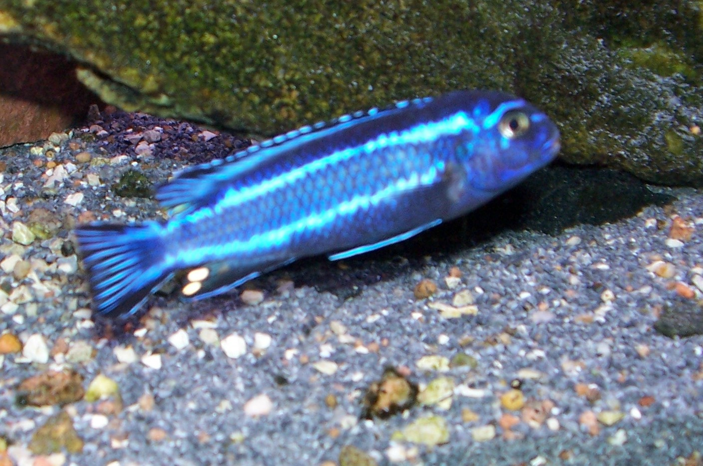 electric blue african cichlid - photo #29