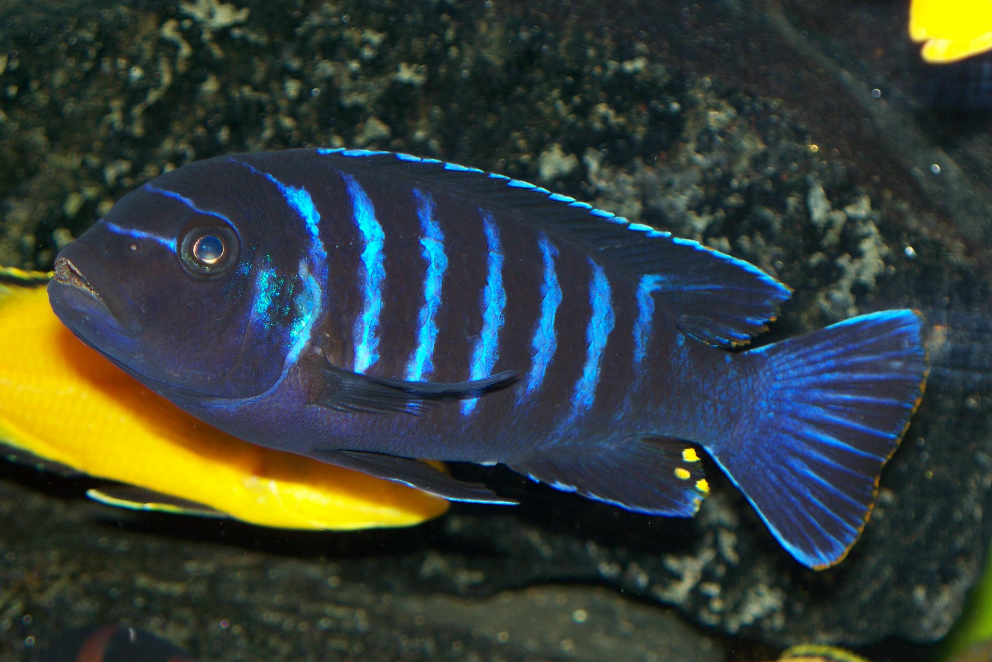 Blue Dolphin Cichlid Images & Pictures - Findpik