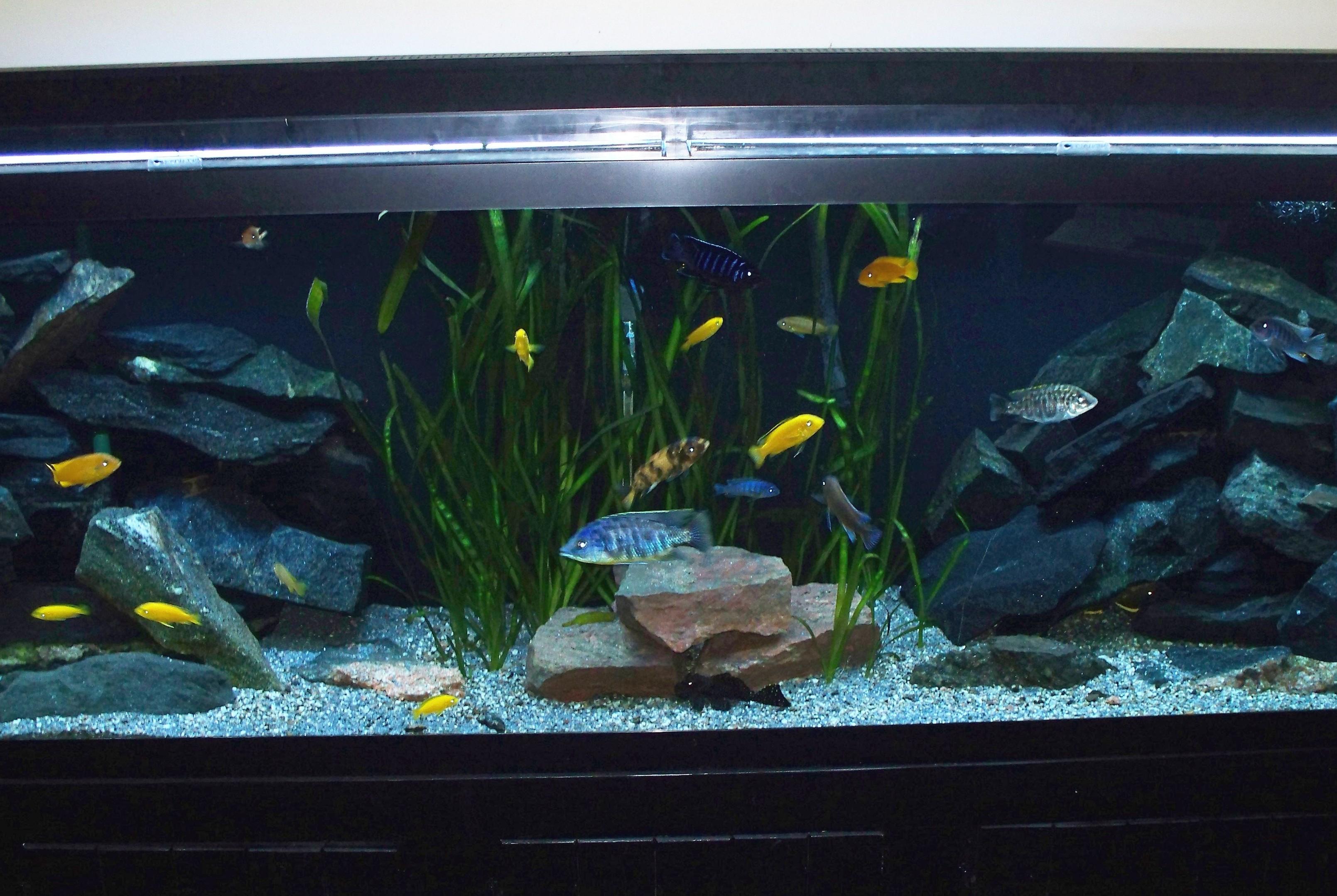 Cichlid Fish Tank Cichlid Tank Setup