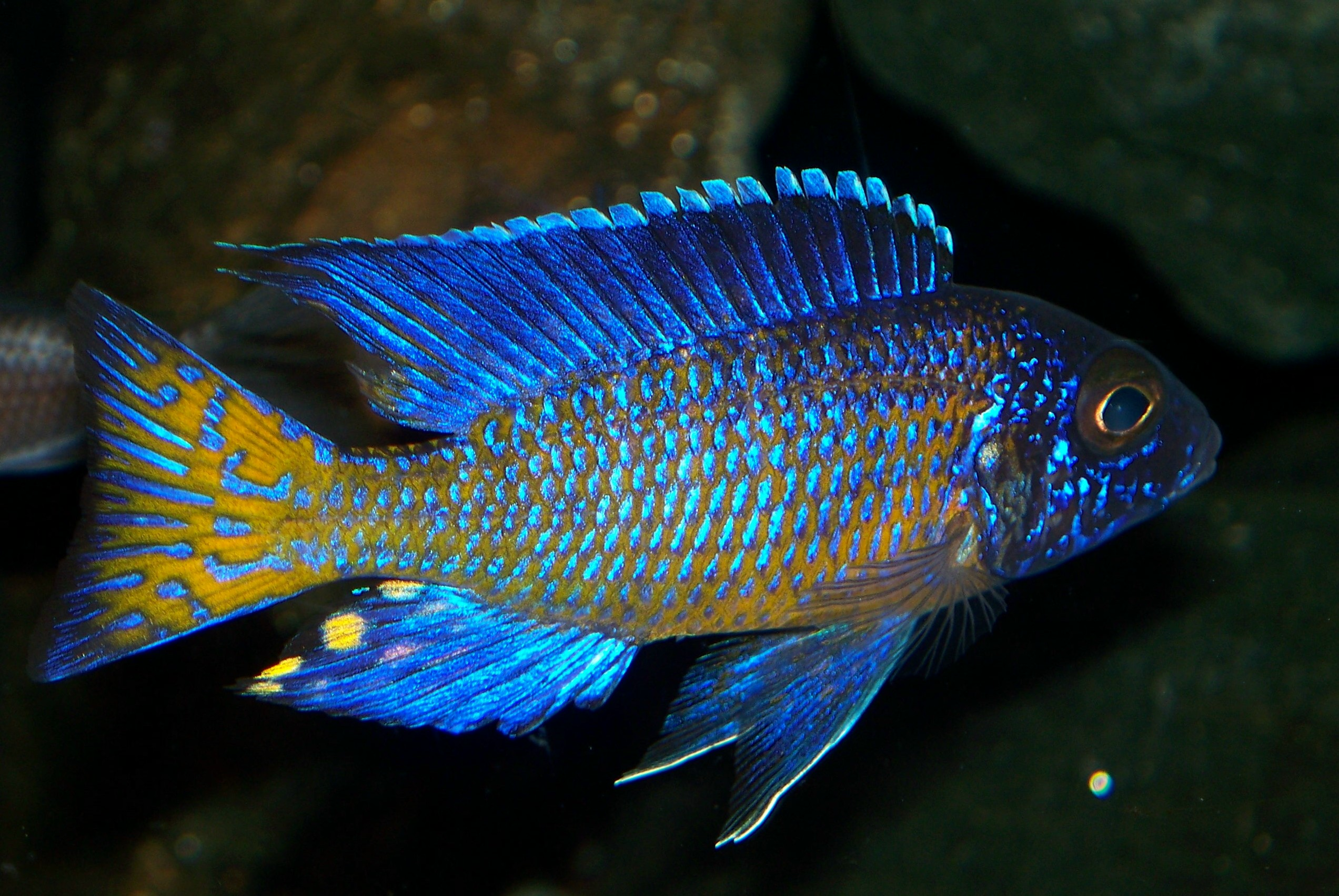 Ngara peacock cichlid all things peacock pinterest