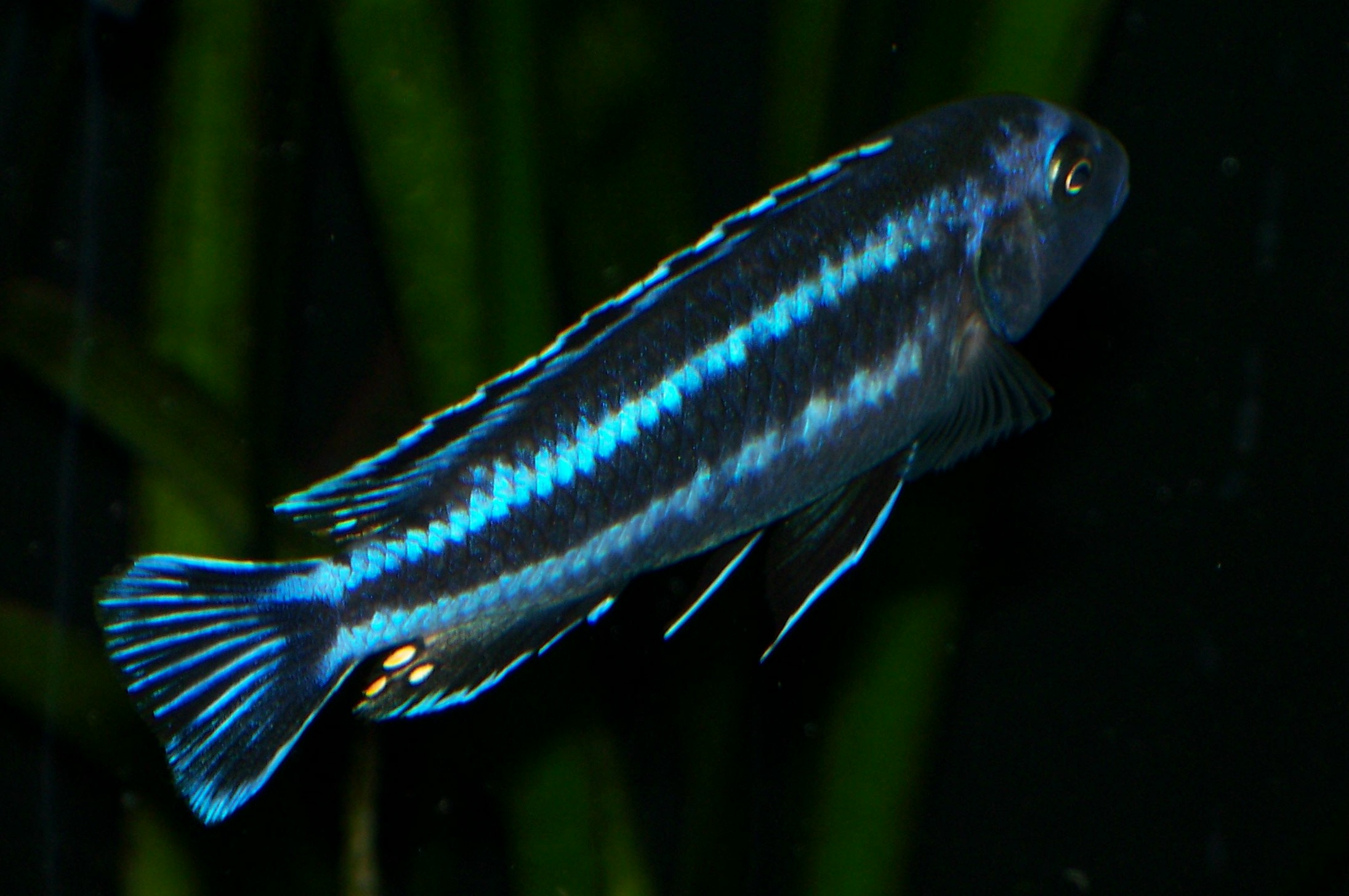 cichlids.com: Wild Melanochromis johanni Male Chiofu Bay