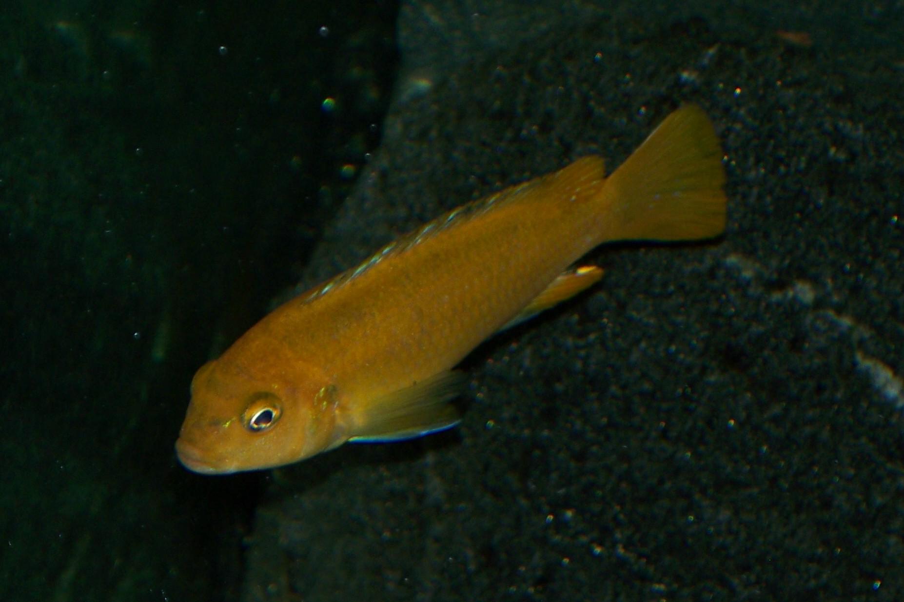 cichlids.com: Wild Johanni Female Gome.