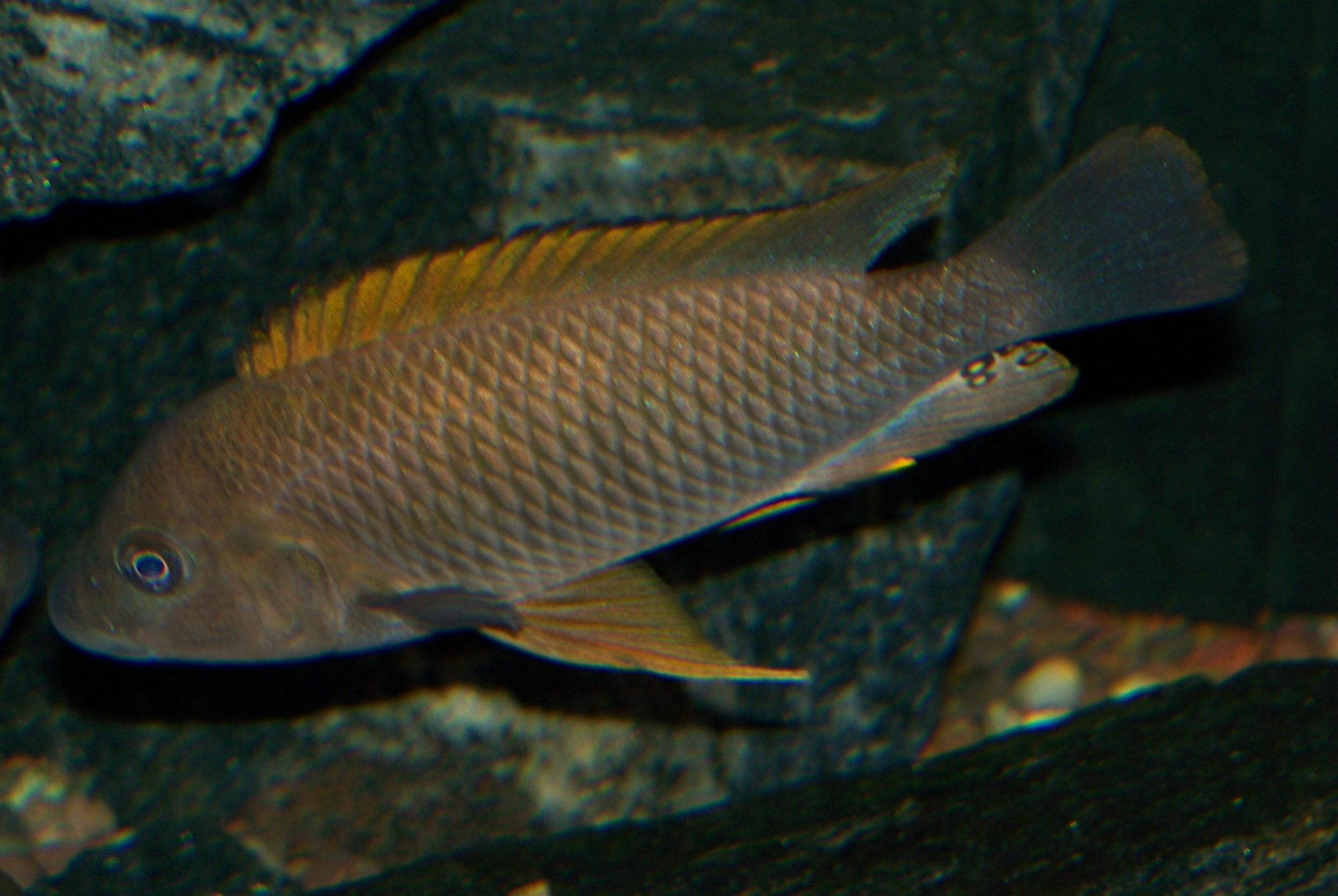 Картинки по запросу Petrochromis famula 'Nyanza Lac'