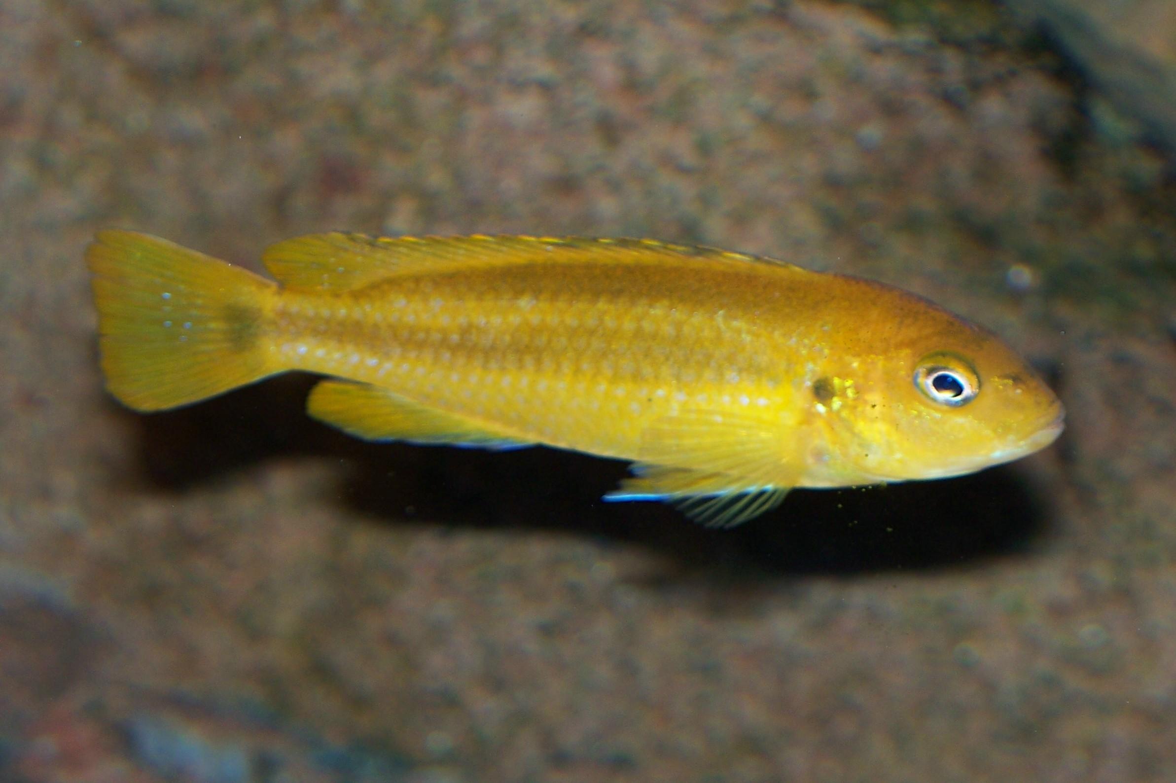 cichlids.com: Wild Female Mel. johanni Gome
