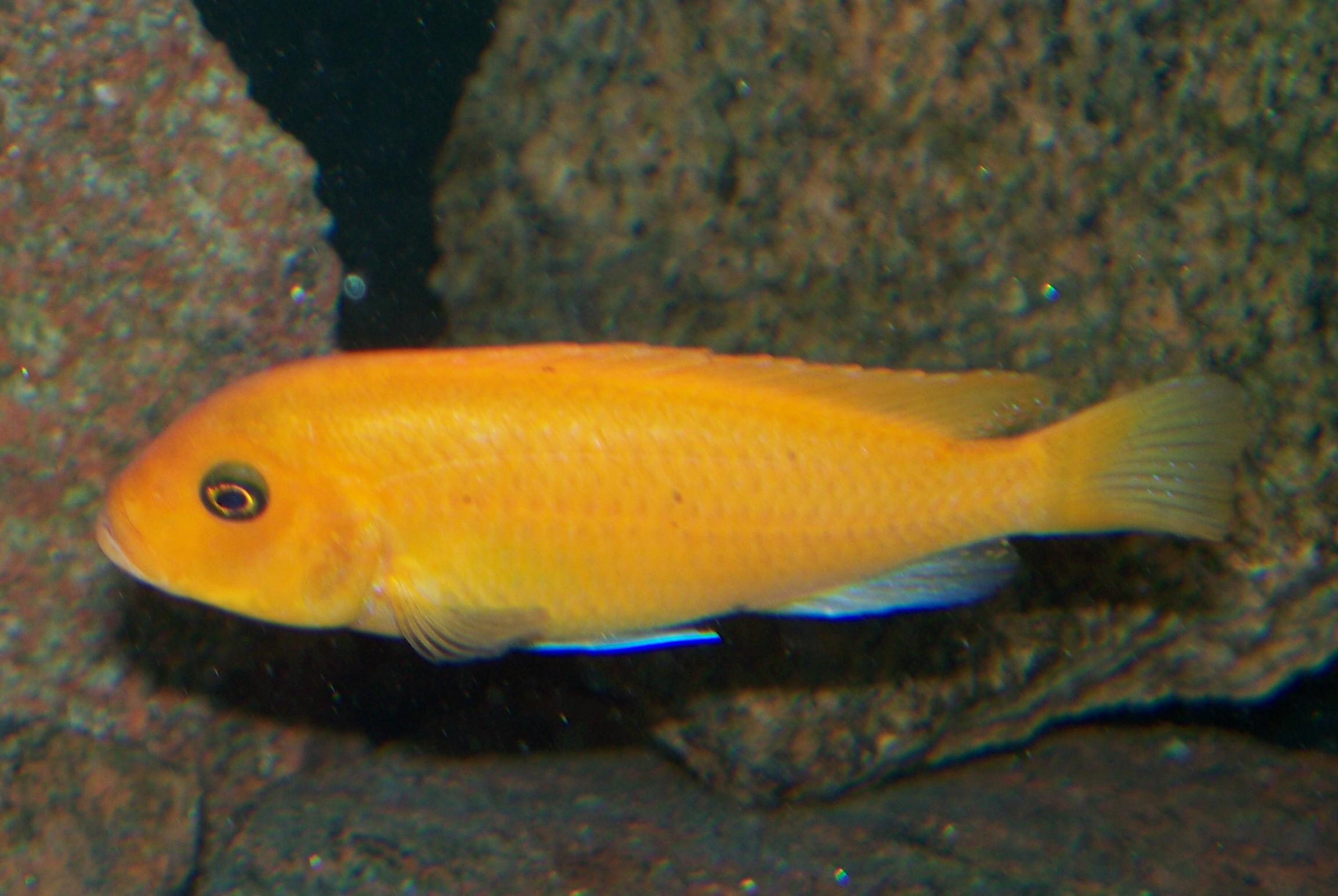 Met Estherae Minos Reef Female