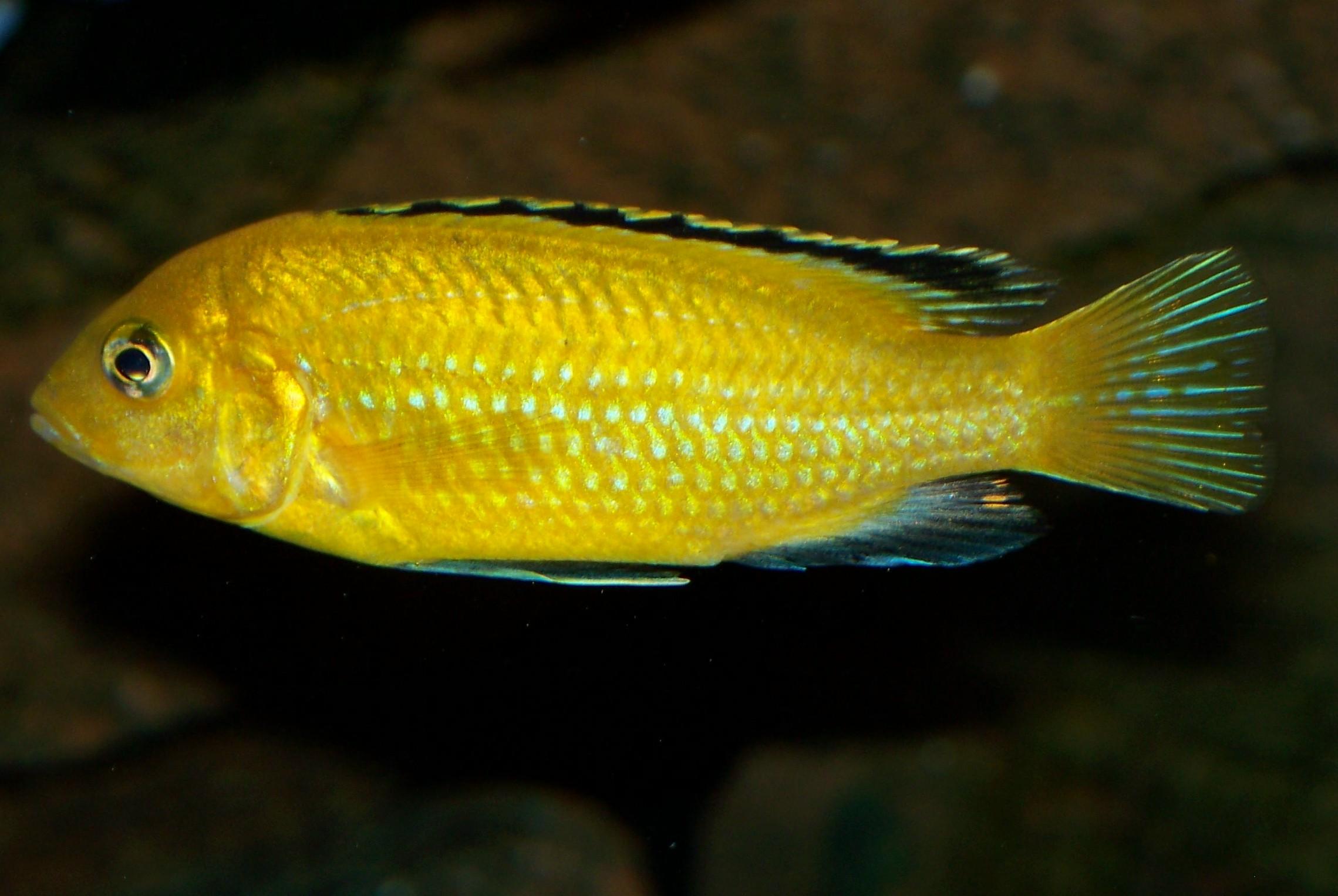 cichlids.com: F1 Labidochromis caeruleus Lions Cove Male  cichlids.com: F...
