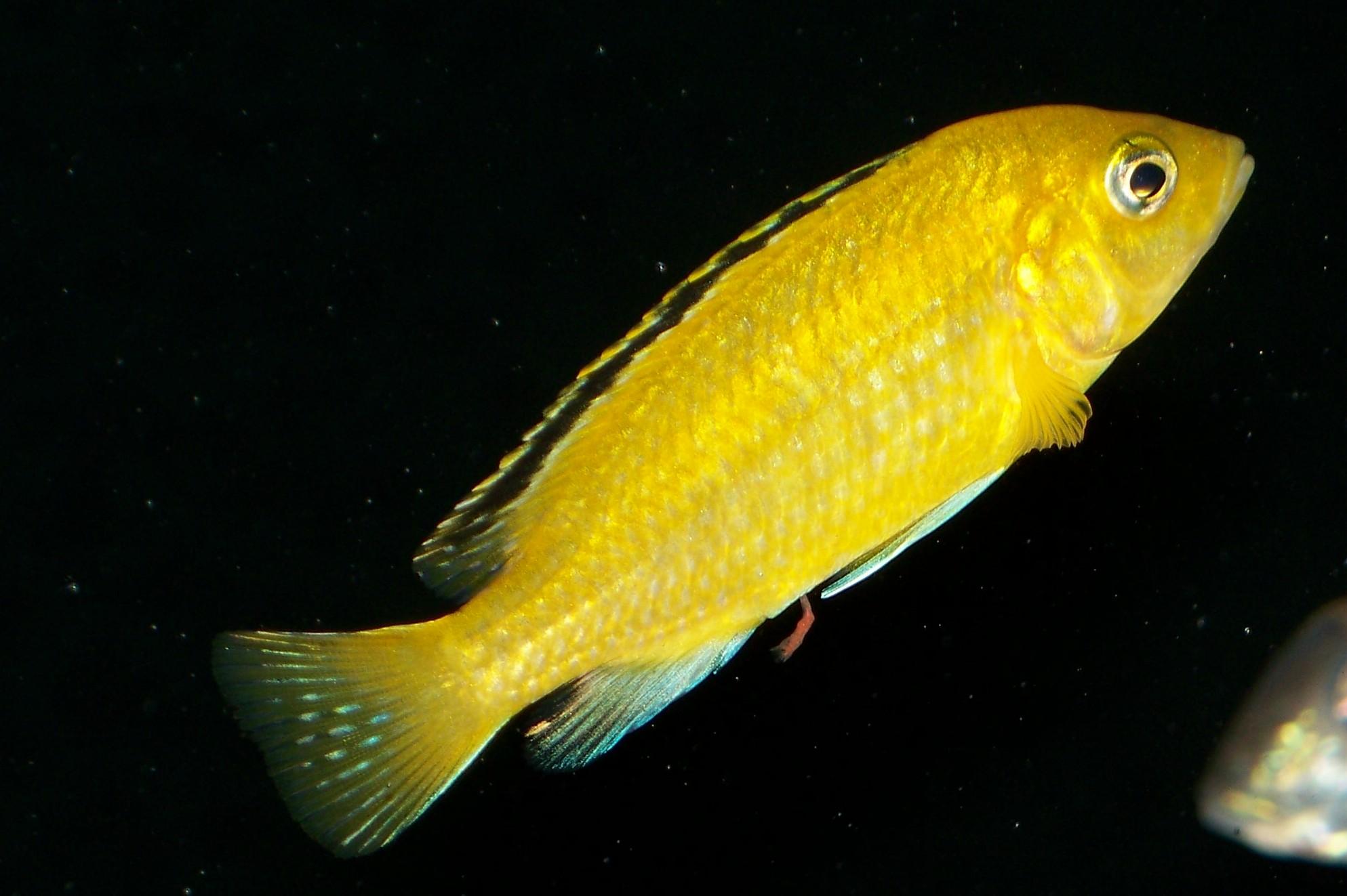 cichlids.com: F1 labidochromis caeruleus Lions cove female  cichlids.com: F...