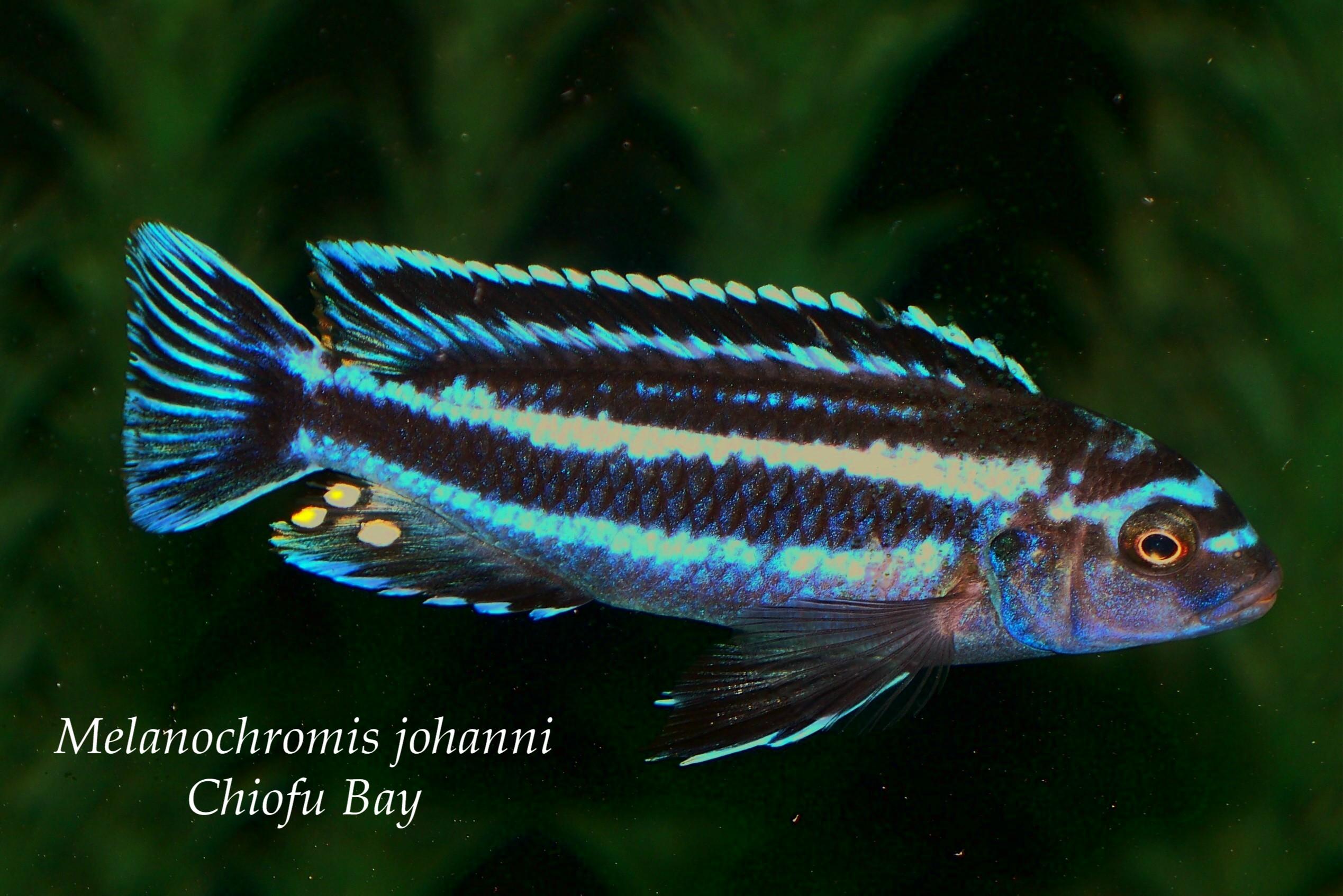cichlids.com: F1 Melanochromis johanni Chiofu Bay