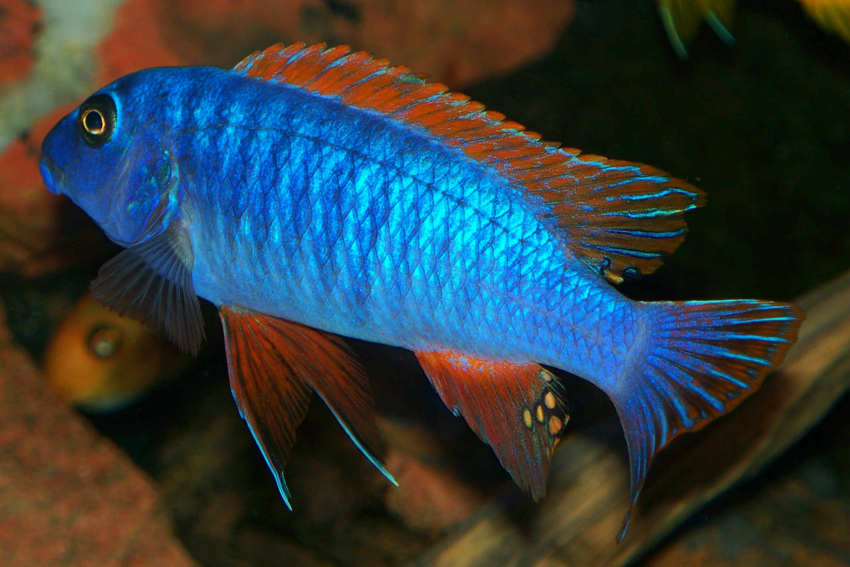 malwi cichlids dope cichlids fish steve s water fish top trewavasae ... Rare Freshwater Fish