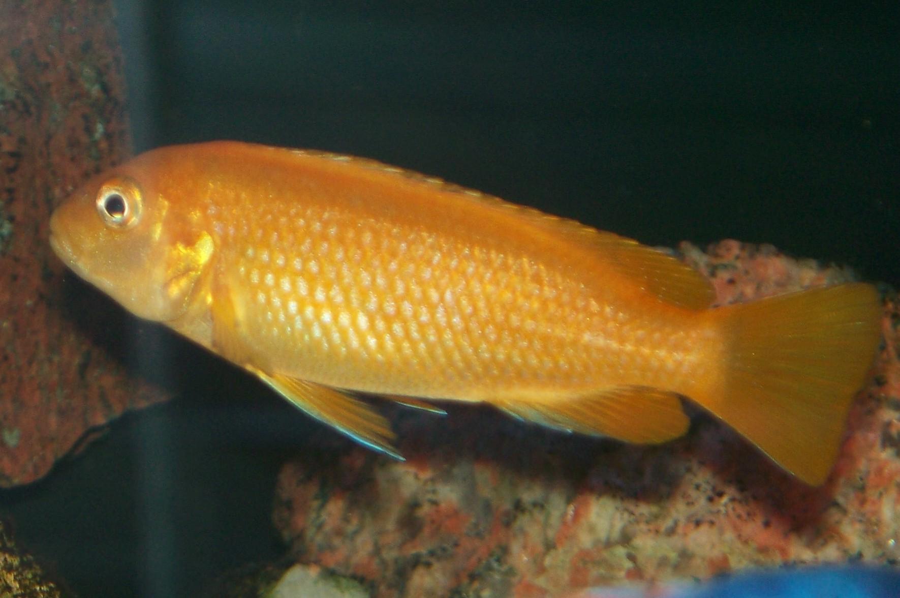 cichlids.com: Female Johanni Gome.