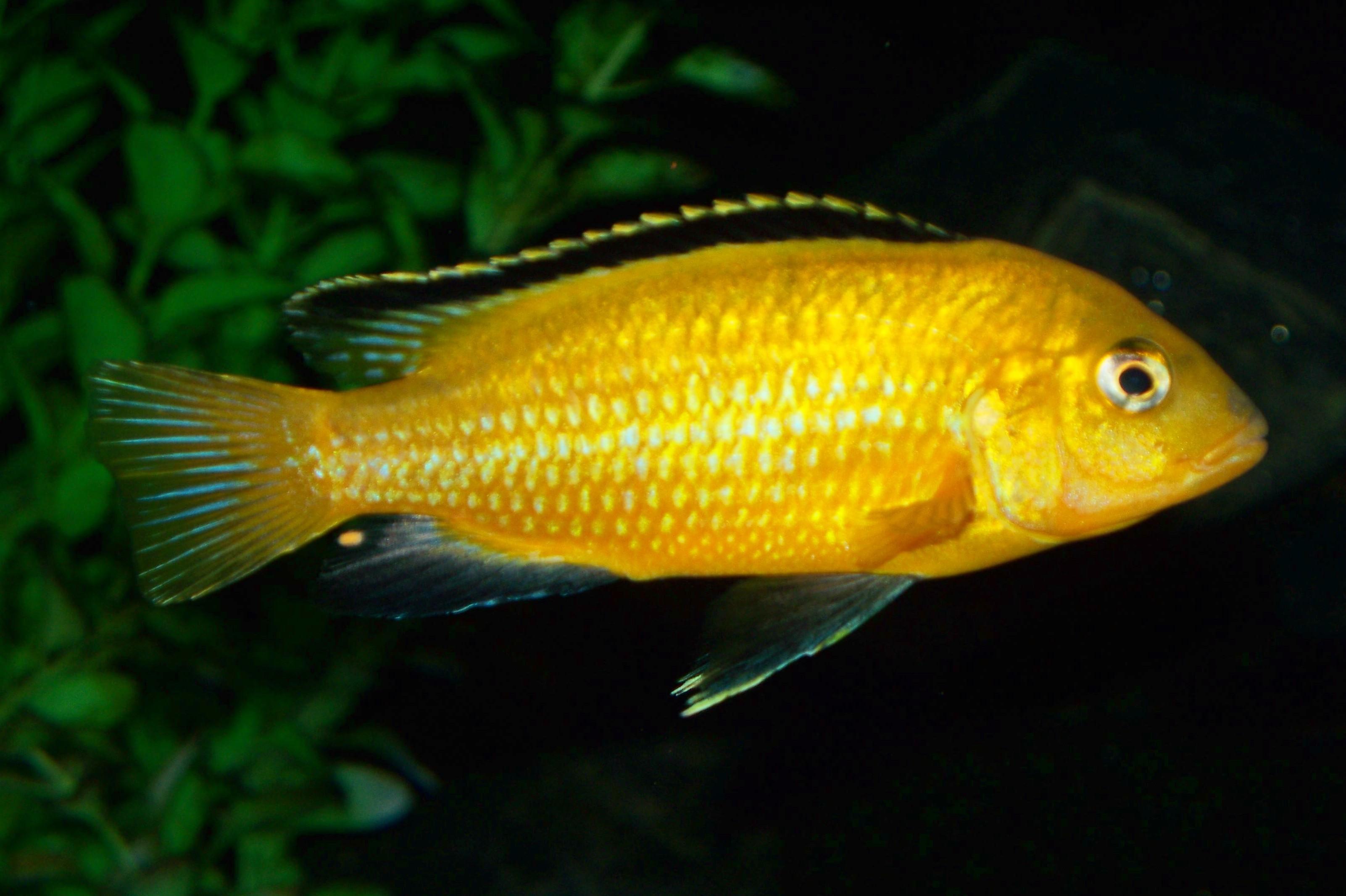 cichlids.com: F1 Labidochromis caeruleus Lions Cove.  cichlids.com: F...