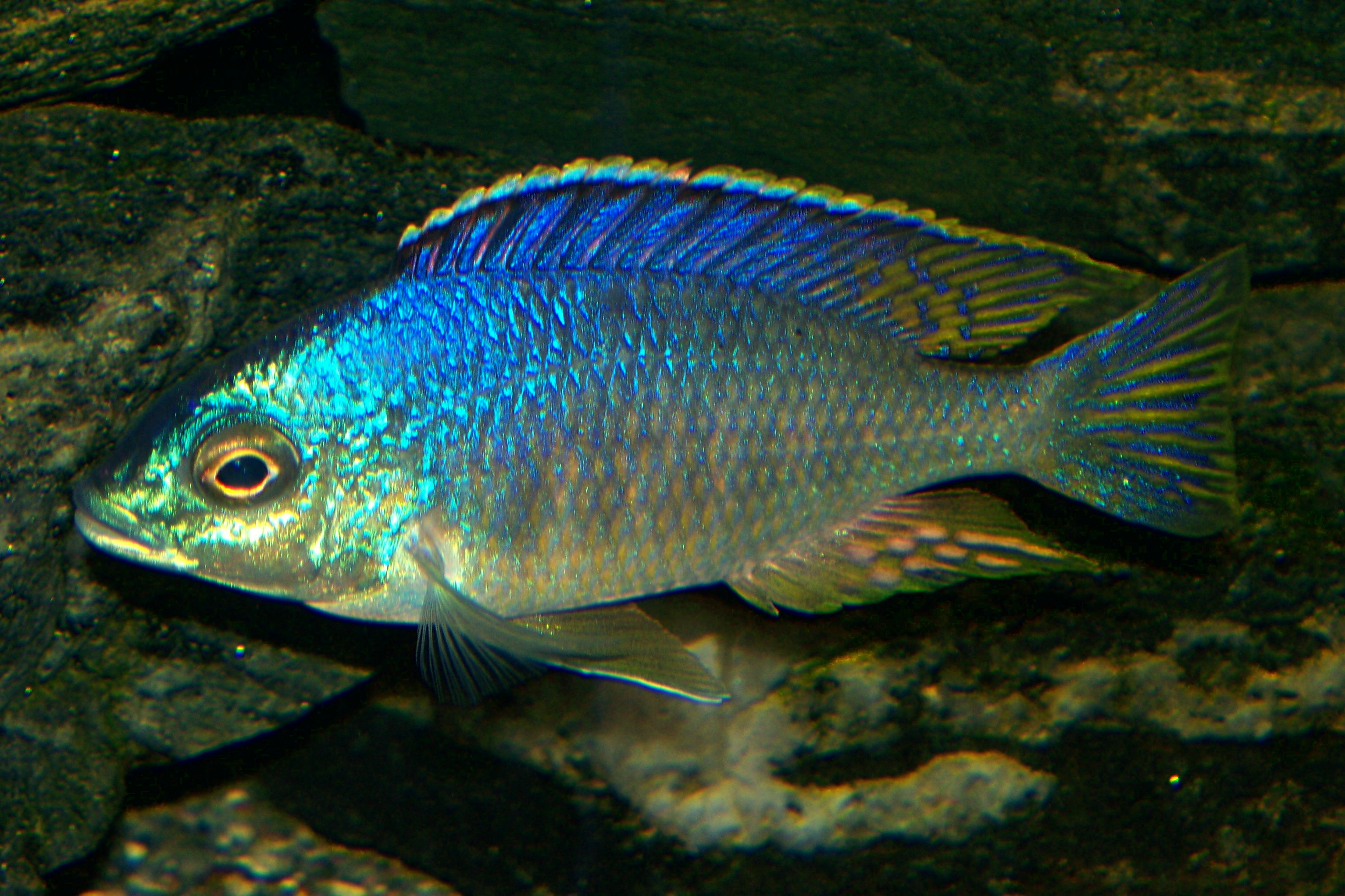 Placidochromis Sp Jalo Jalo Reef