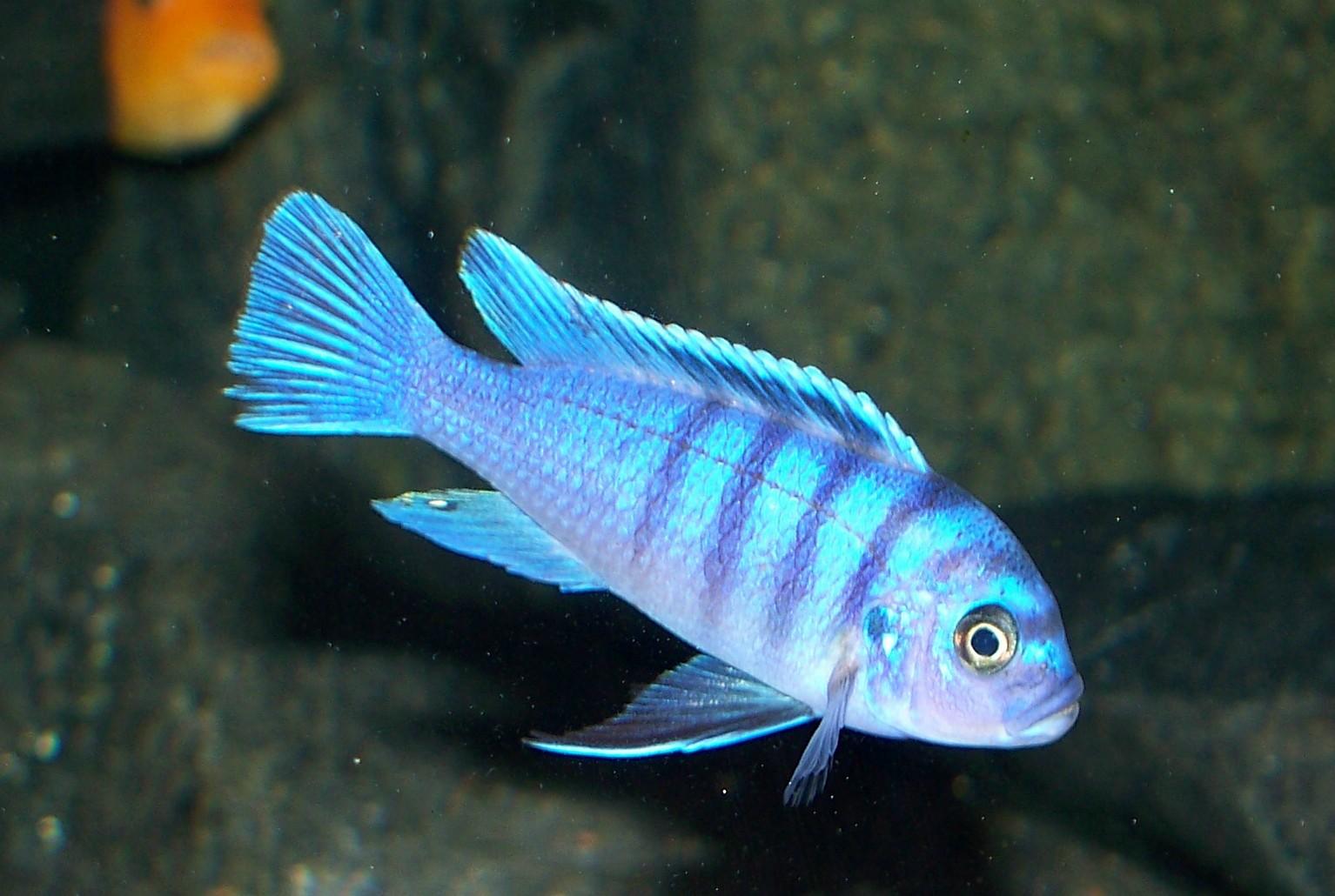 F1 Cyno Hara Gallireya Reef