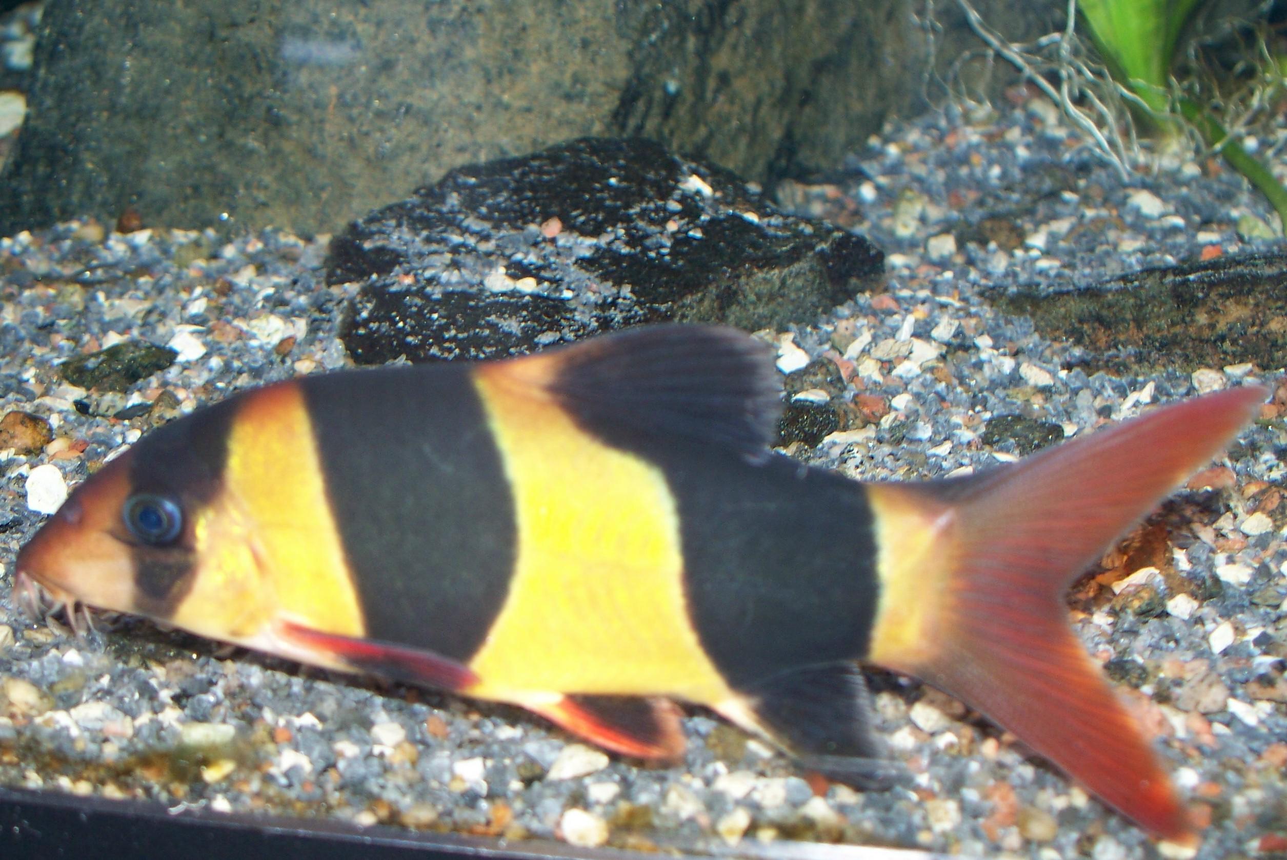 Cyprinidae: Botia Macracantha