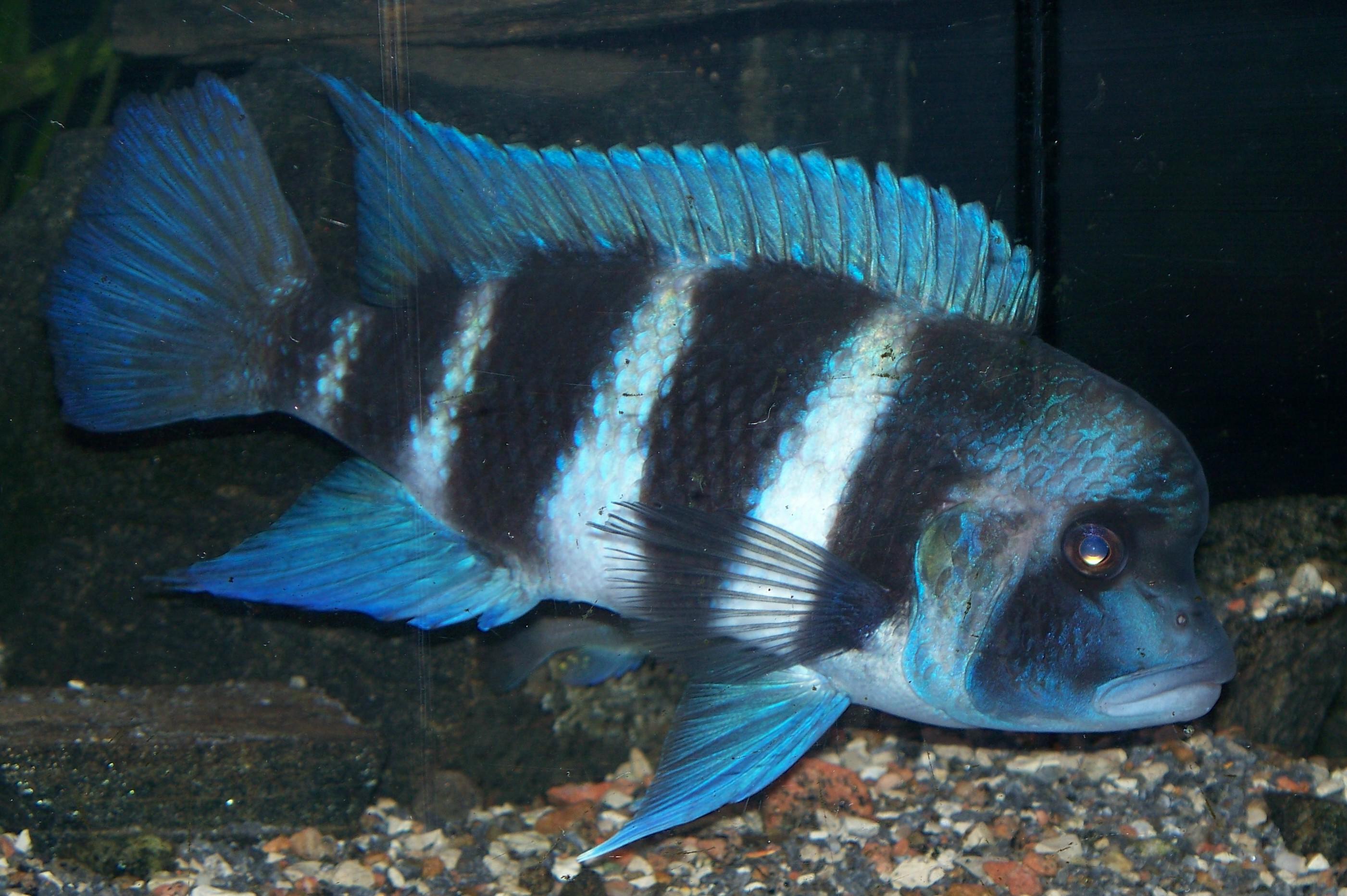 cichlids.com: Kipilli Frontosa