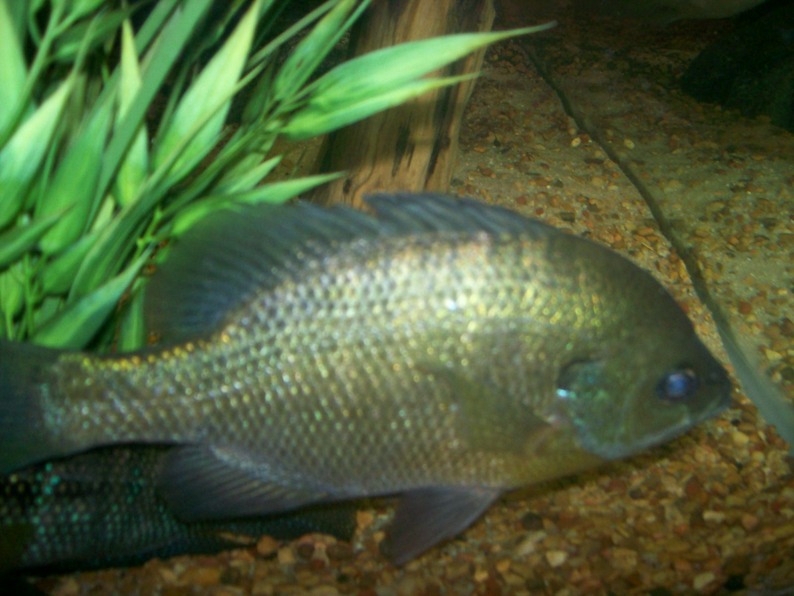 Female bluegill for start of a native for Bluegill fish tank