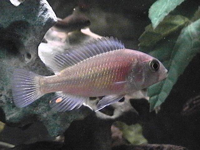 cichlids.com: Haplochromis Hippo Point Salmon