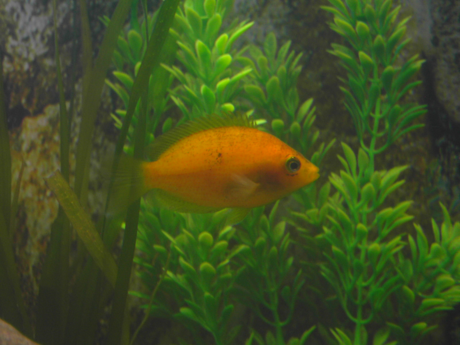 cichlids.com: orange chromide!!