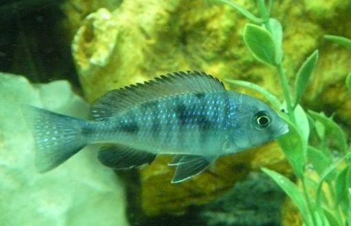 Parrot fish cichlid for sale for Parrot fish for sale