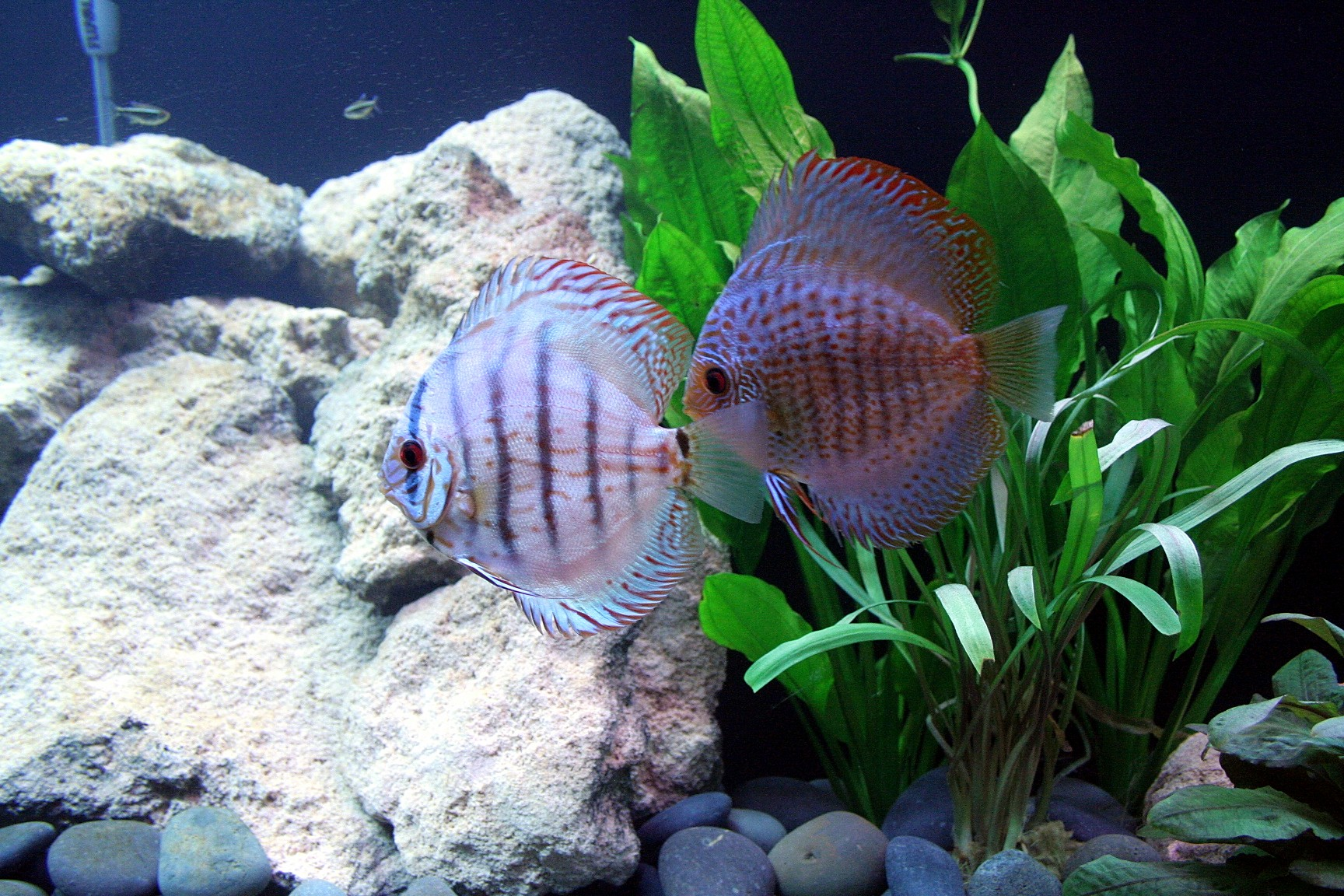 Discus fish miami jack wattley discus pet stores little for Fish store miami