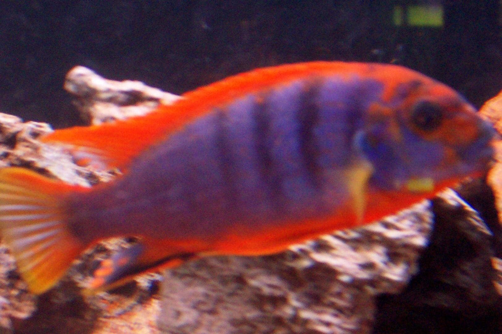 cichlids.com: srt hongi