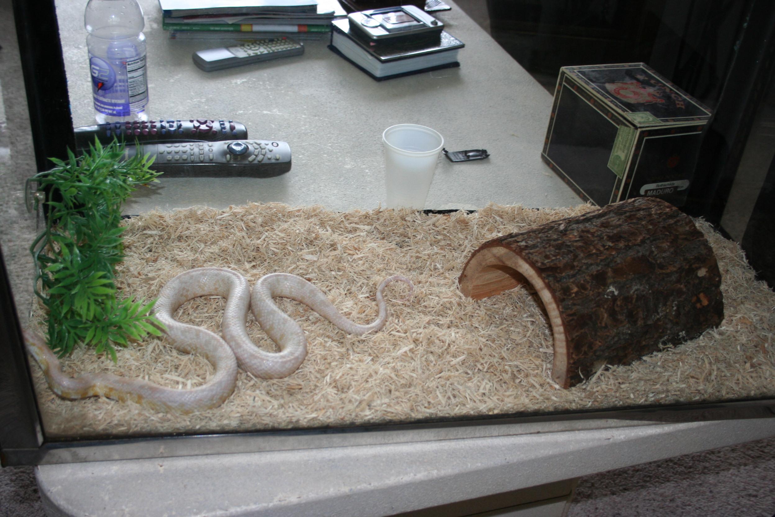 Baby Albino Corn Snakes my Albino Corn Snake