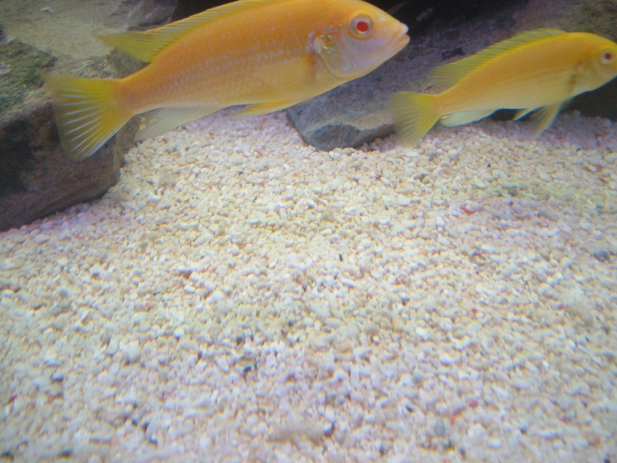 cichlids.com: Albino yellow lab?