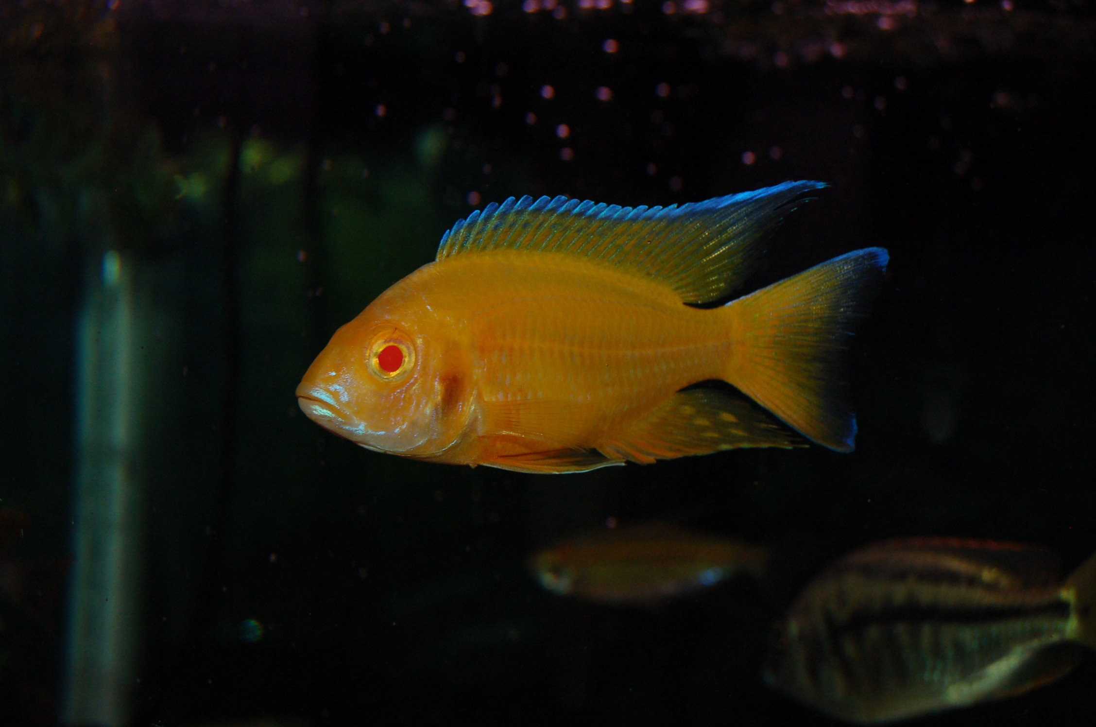 lemon jake peacock cichlid - photo #1