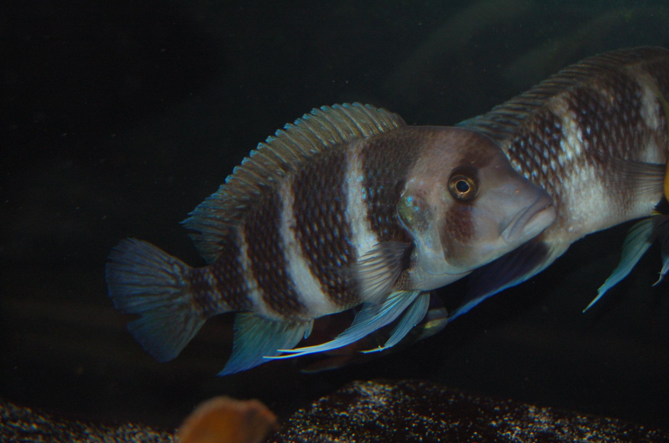 Frontosa Cichild : cichlids.com: Female Frontosa