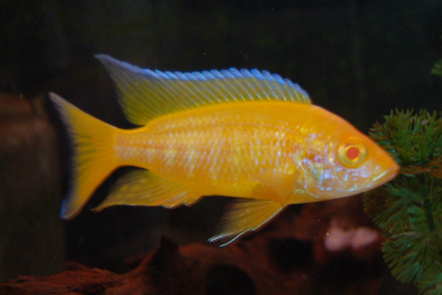 lemon jake peacock cichlid - photo #41