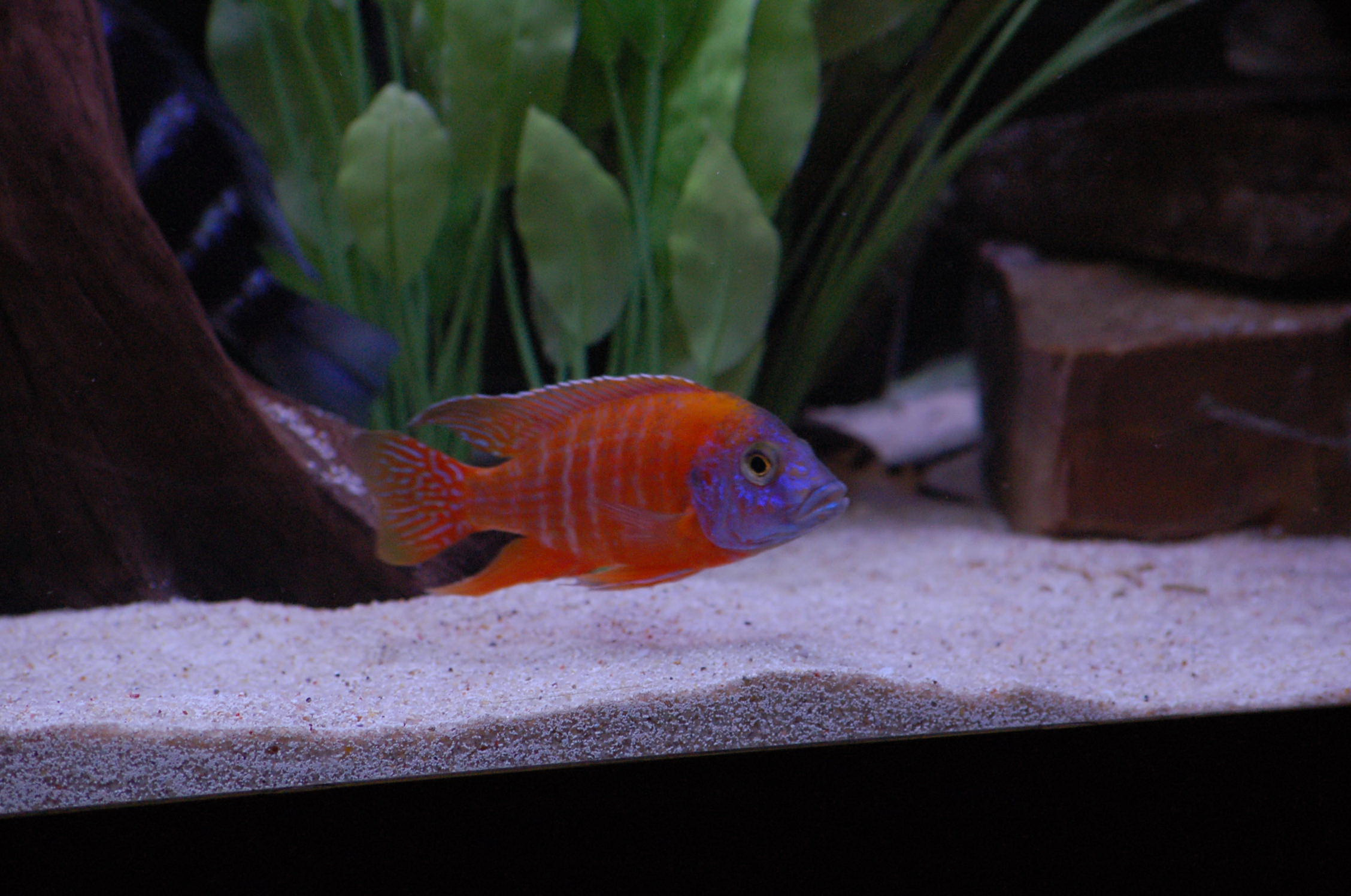 cichlids.com: TN Orange Peacock