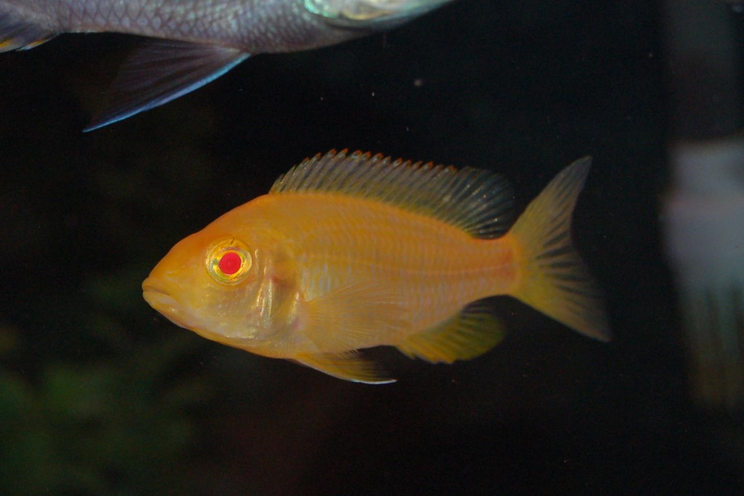 Lemon Cichlid : cichlids.com: Albino Lemon Jake female
