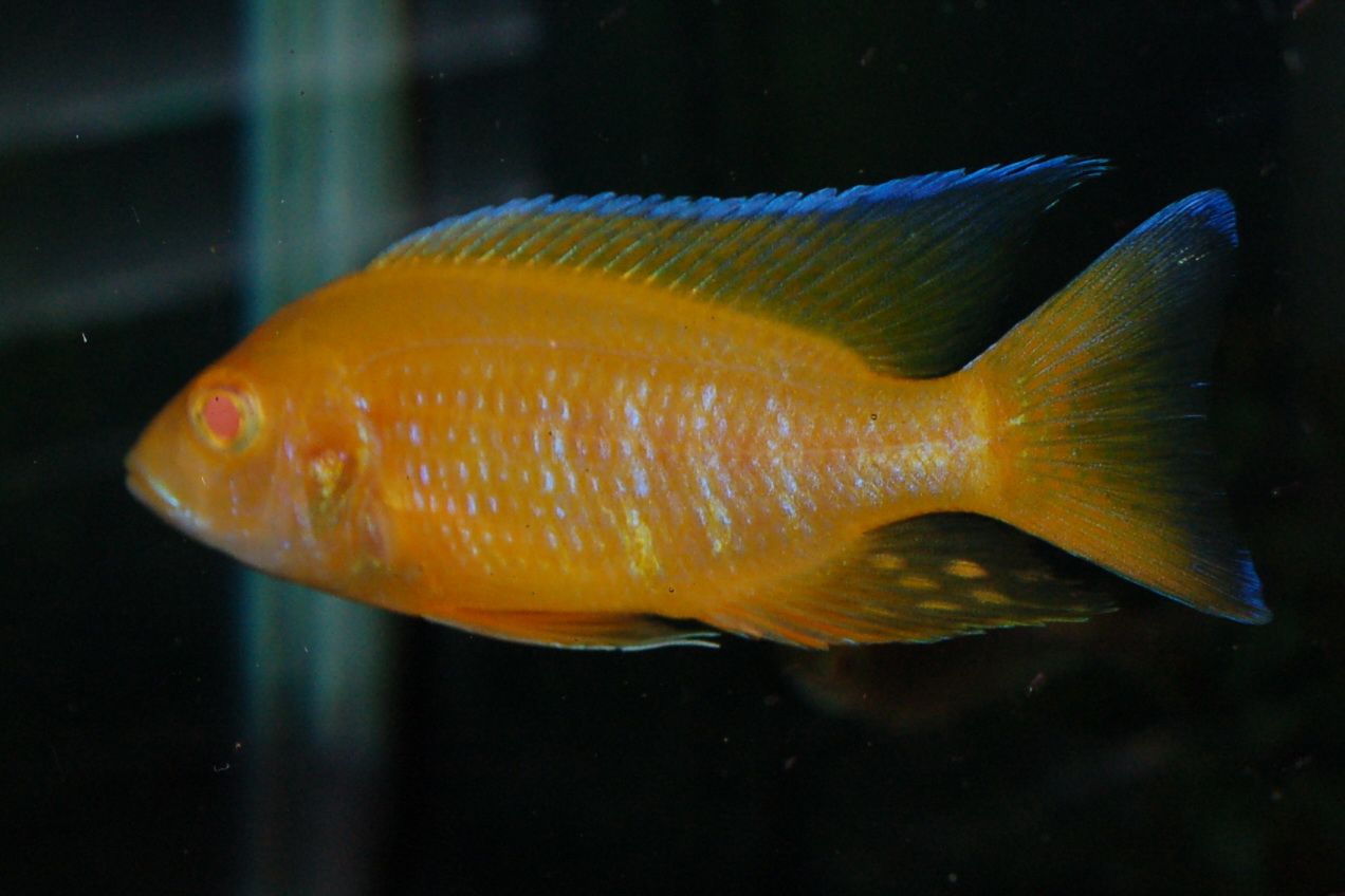 lemon jake peacock cichlid - photo #27