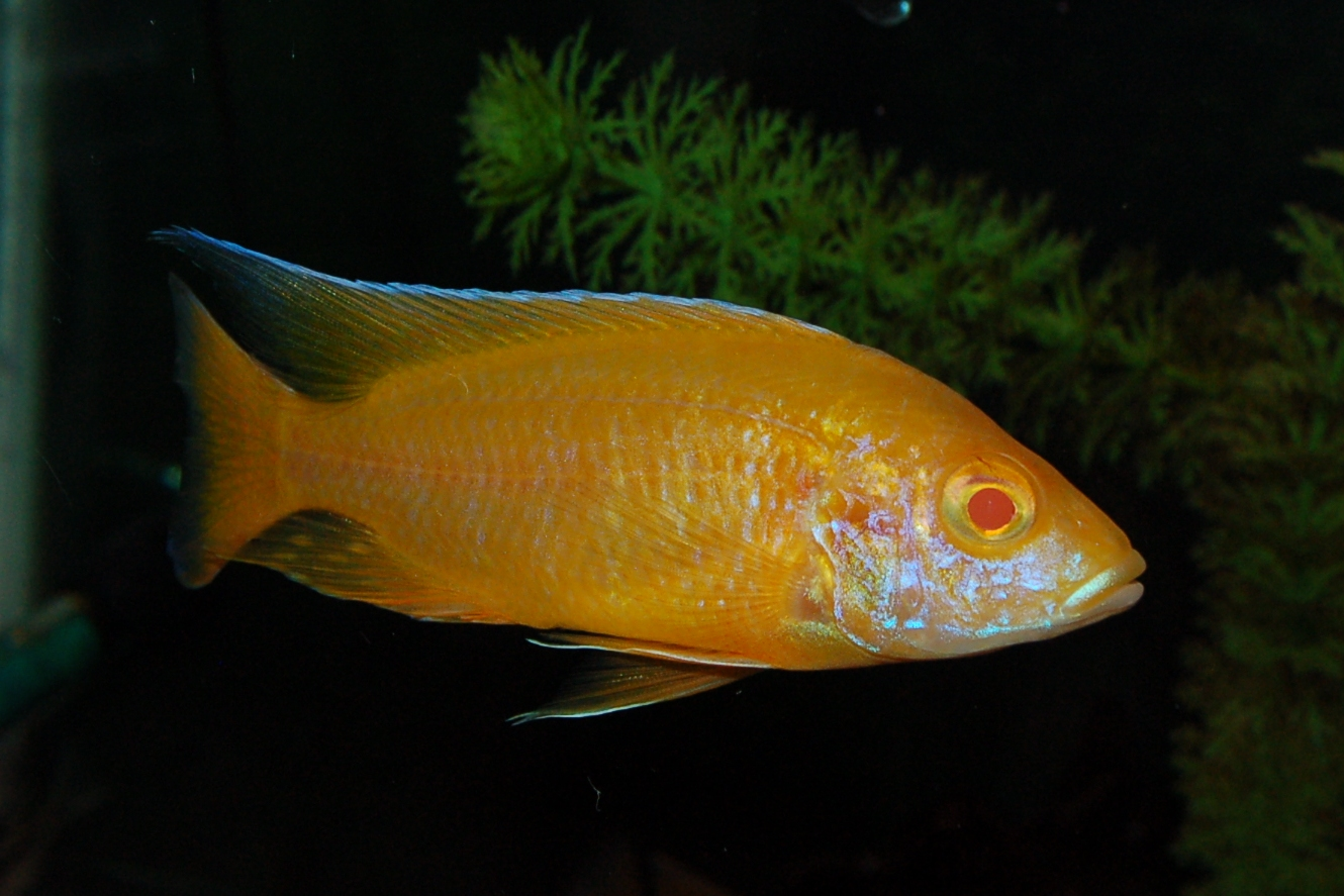lemon jake peacock cichlid - photo #6