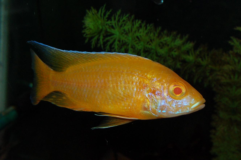 lemon jake peacock cichlid - photo #6