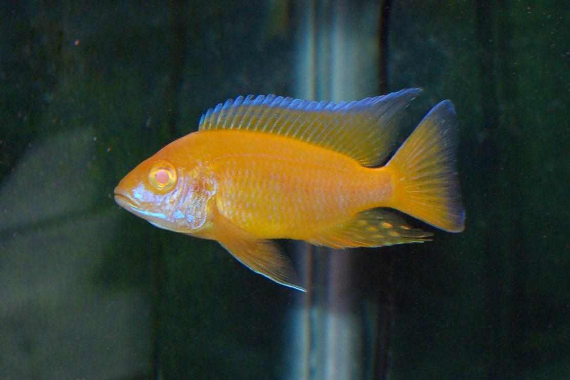 lemon jake peacock cichlid - photo #22